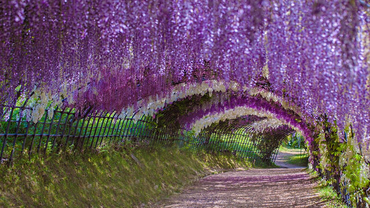 Kitakyushu Wisteria Garden