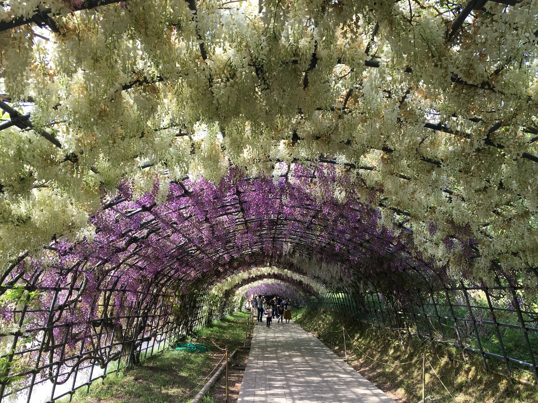 Wisteria Tunnel, Kawachi Fuji Gardens in Kitakyushu