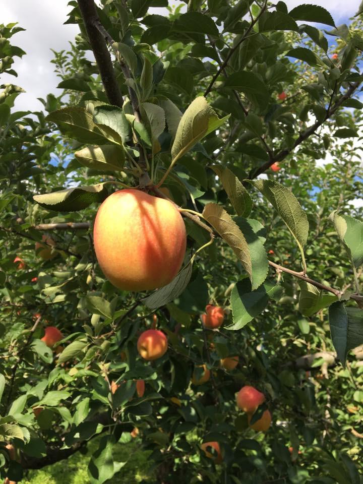 Apple Picking at Shiramatsuringo Orchards