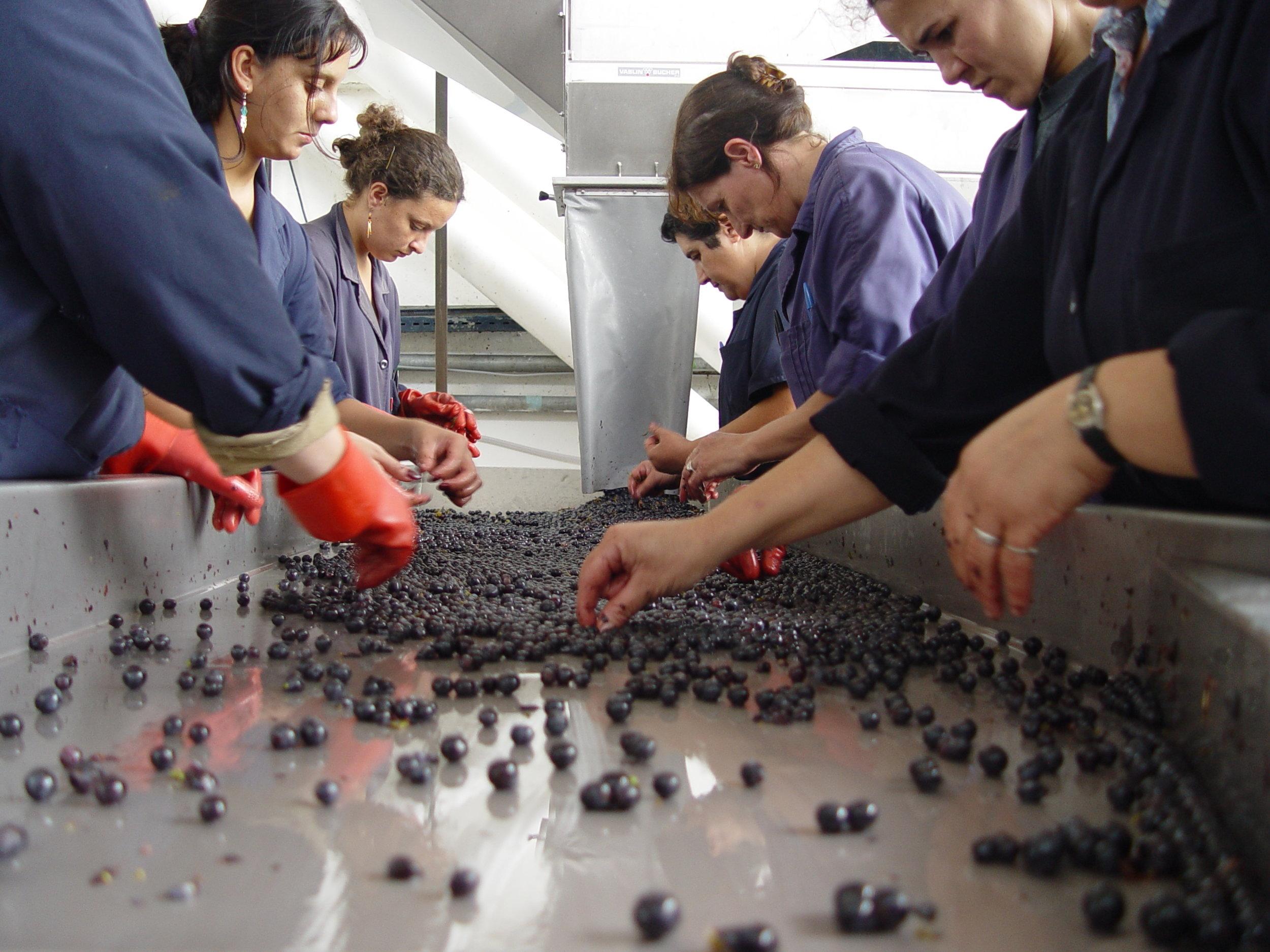 DSC08114 - seleccion de uvas.JPG