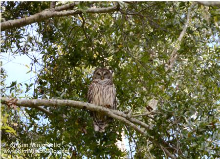 Owl in my neighbor's tree