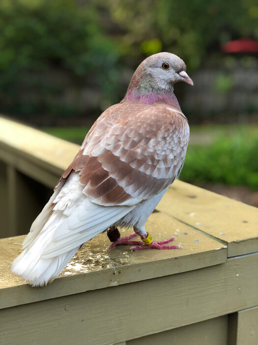 Red the Red Checkered Pigeon