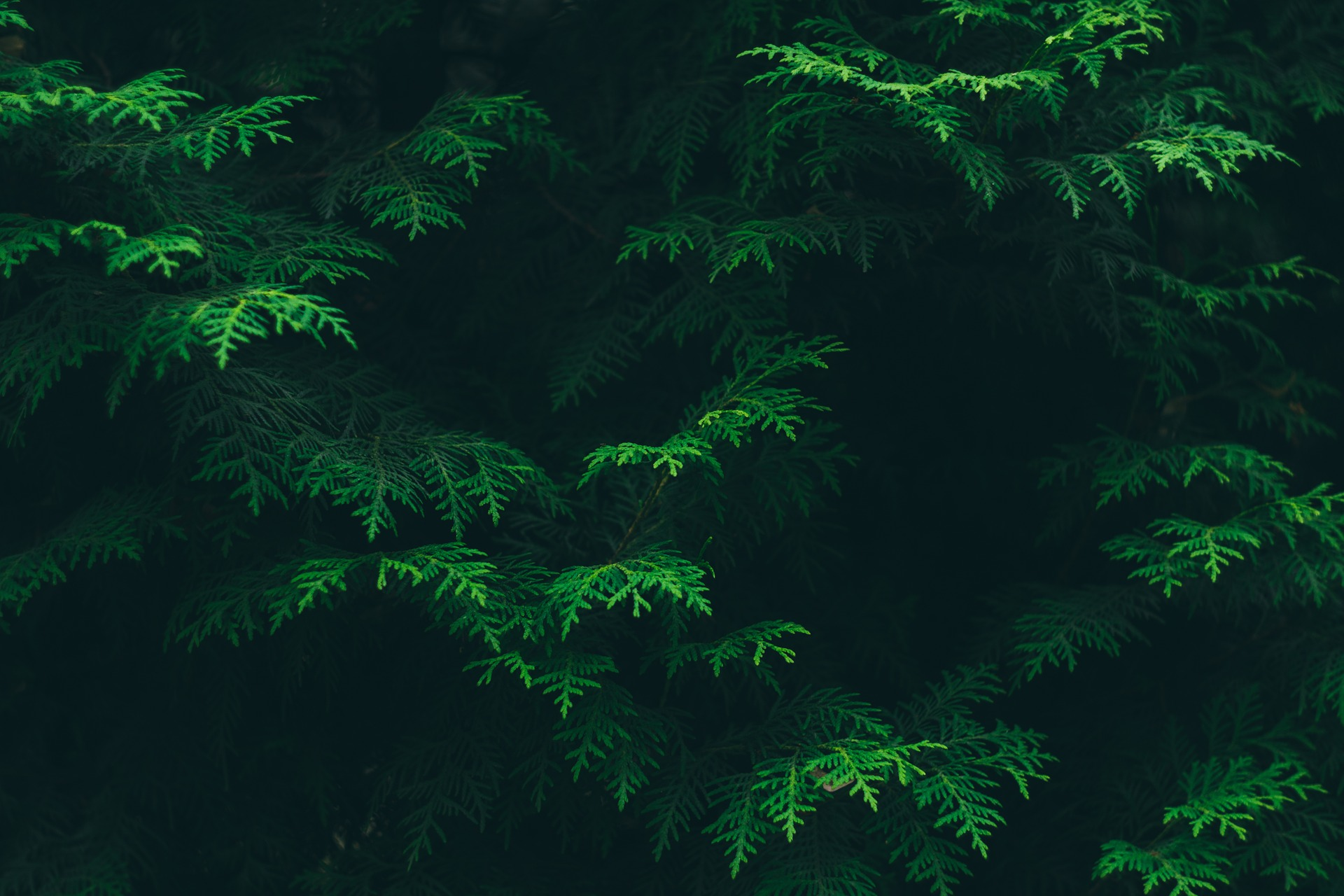 conifer-1867371_1920.jpg