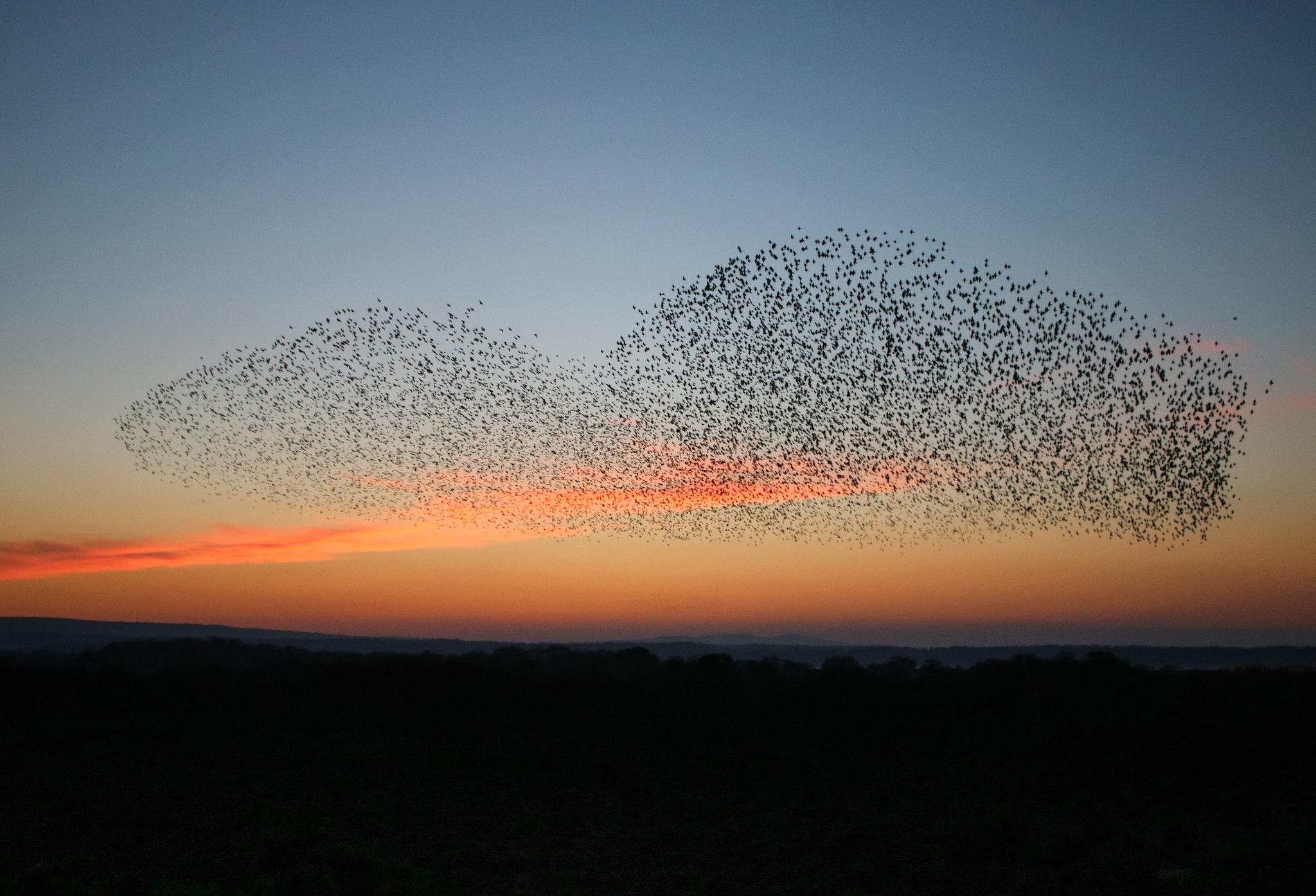 Starlings_Tanya Hart_Flickr cc.jpg