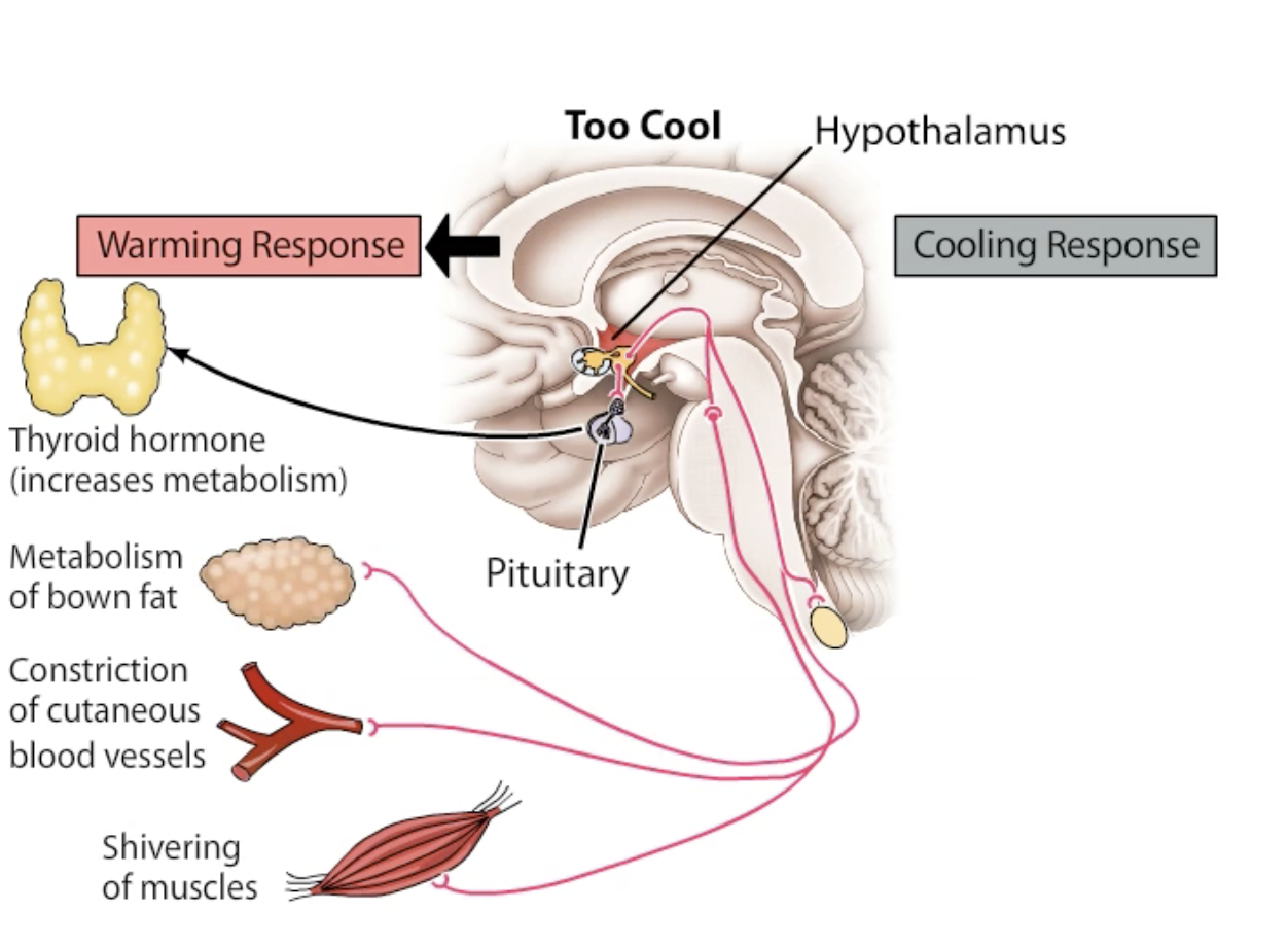 Diagram of how your body response in extremely low temperatures