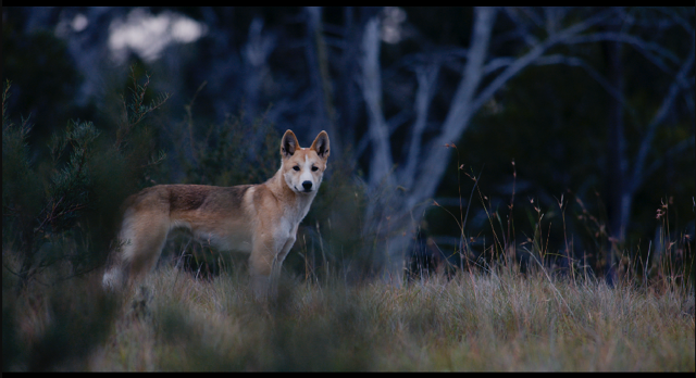 A dingo in the Blue Mountains. Credit: Daniel Hunter.