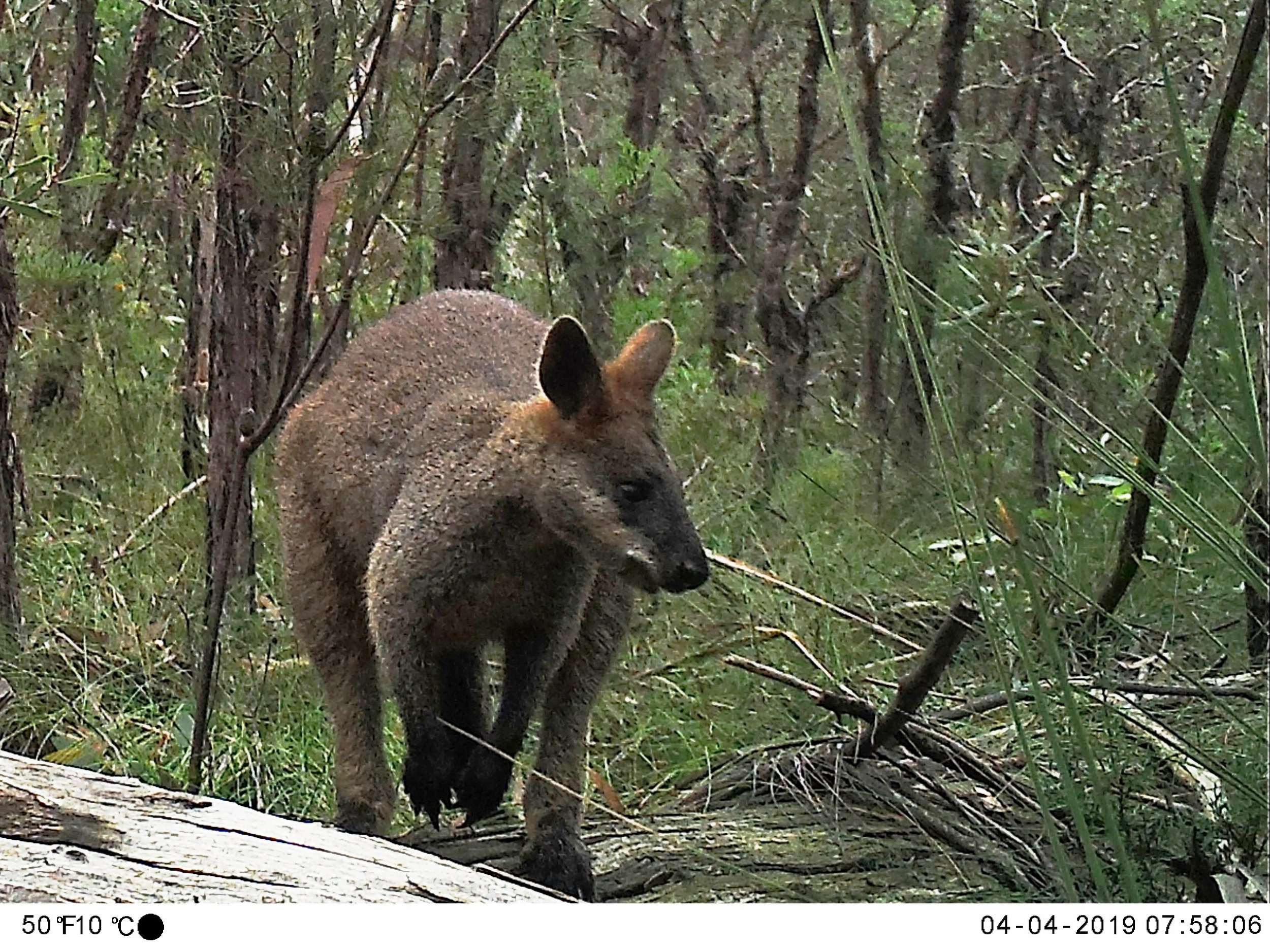 Macropod caught on Citizen Science Monitoring project camera.jpg