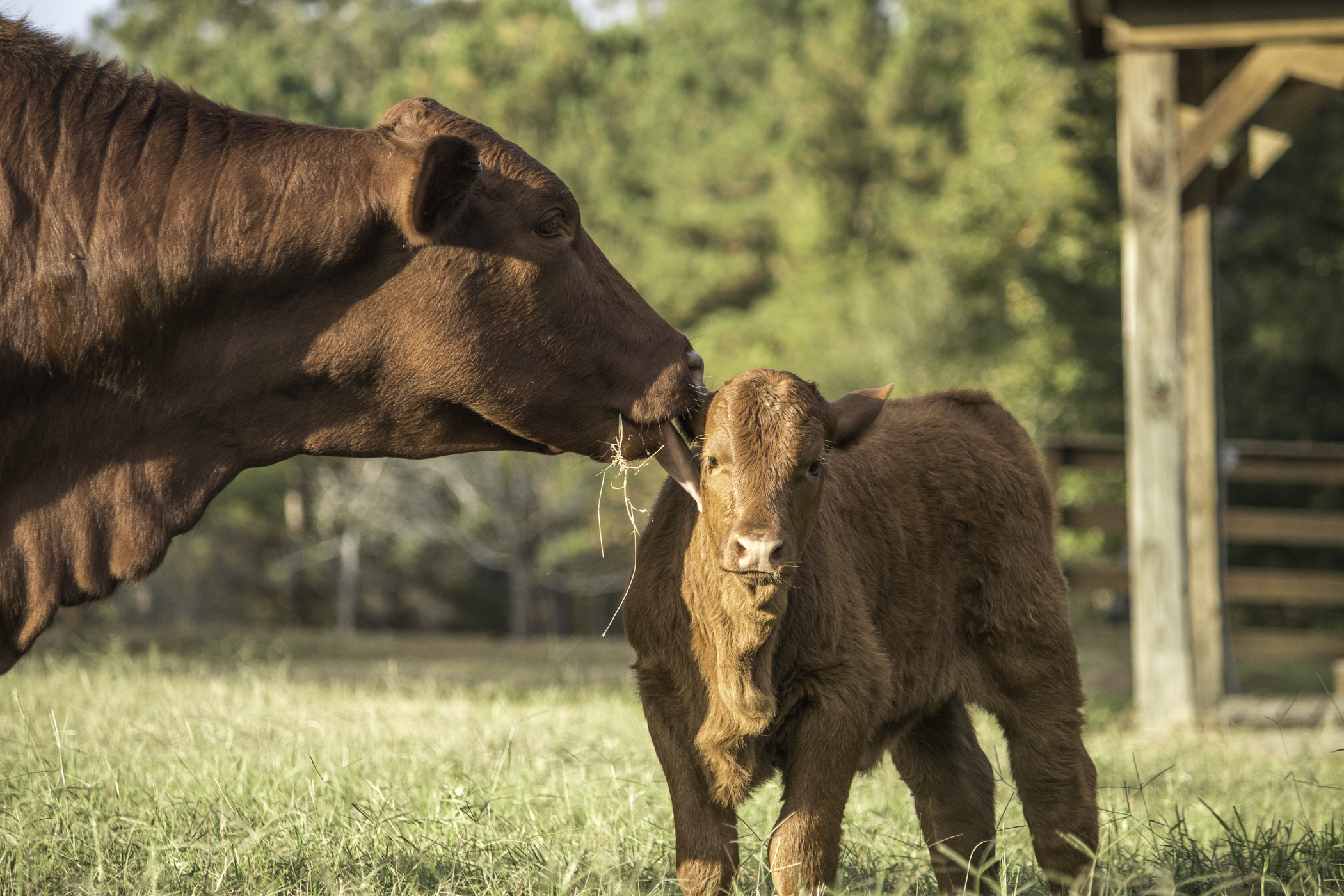 Cows-3-3.jpg