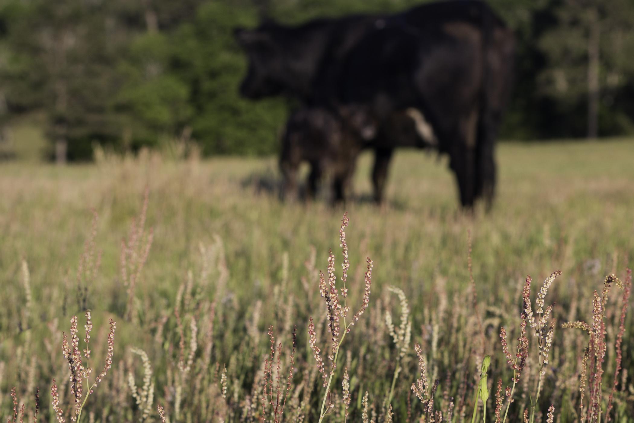 Cows-2.jpg