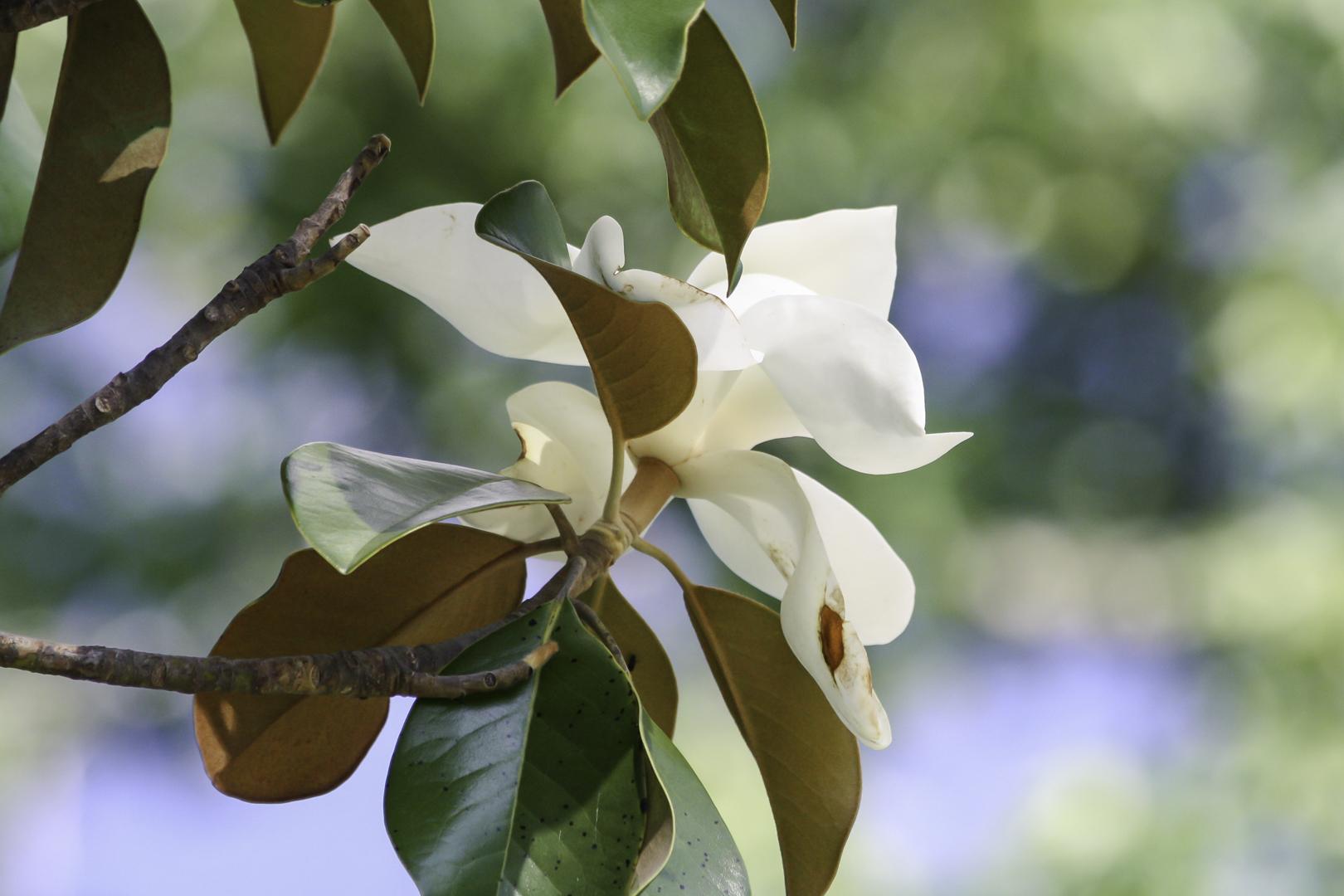 magnolia (1 of 1).jpg