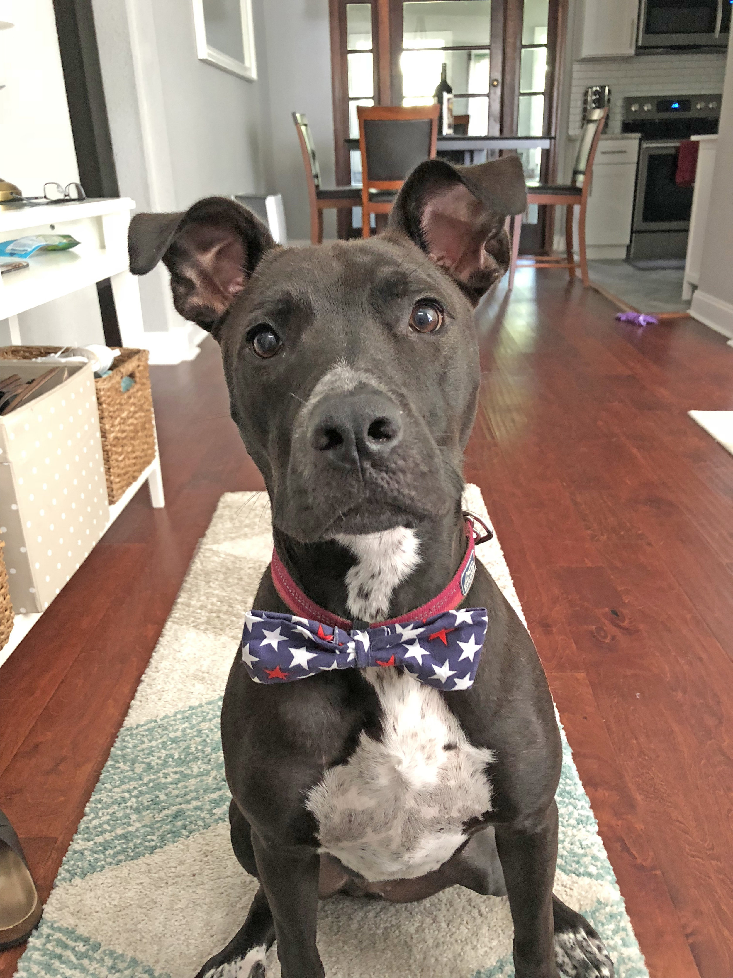 Cedric, our dog, sporting a bow tie