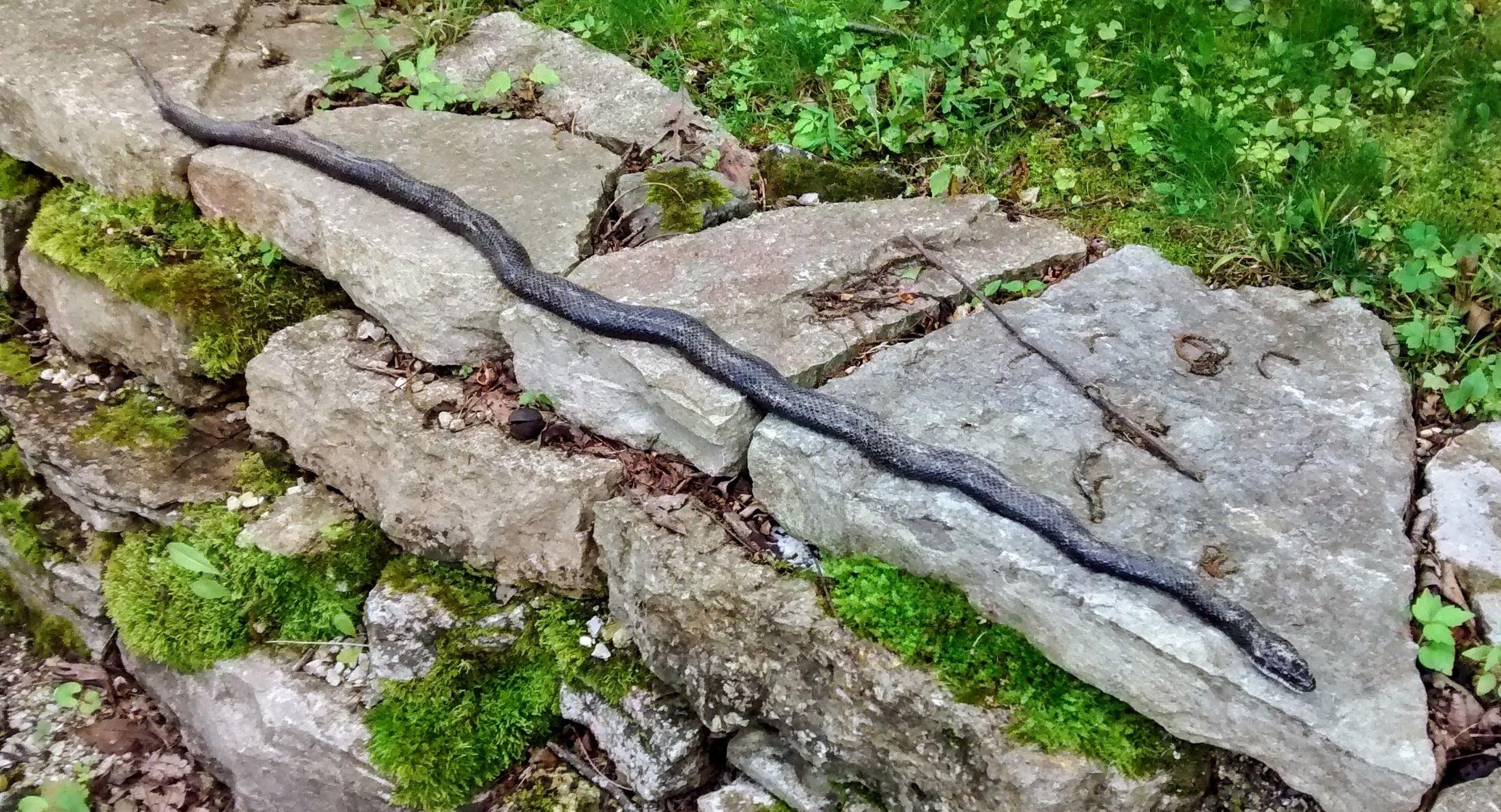 Black snake sunning itself