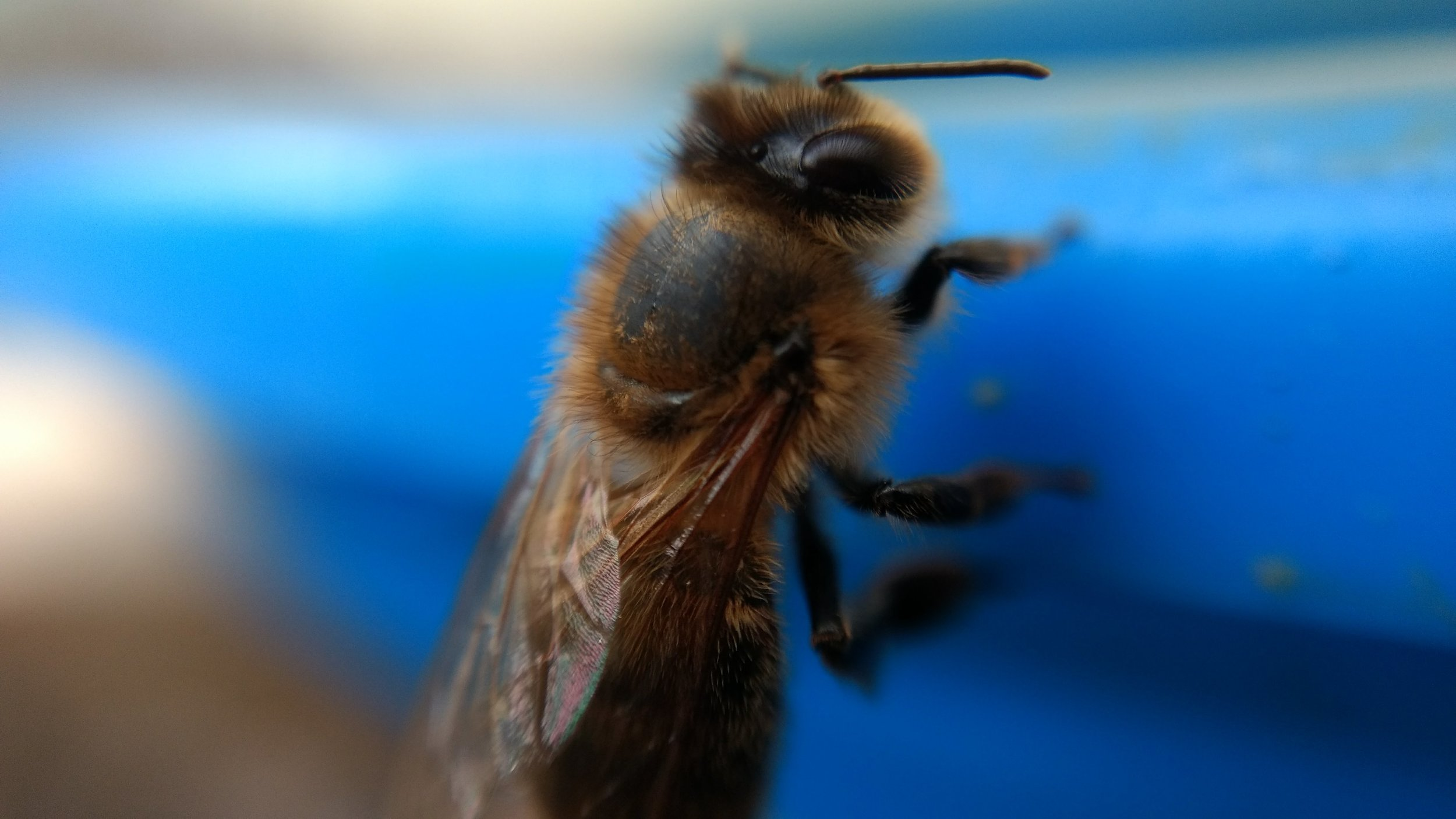 A bee who survived the worst of winter