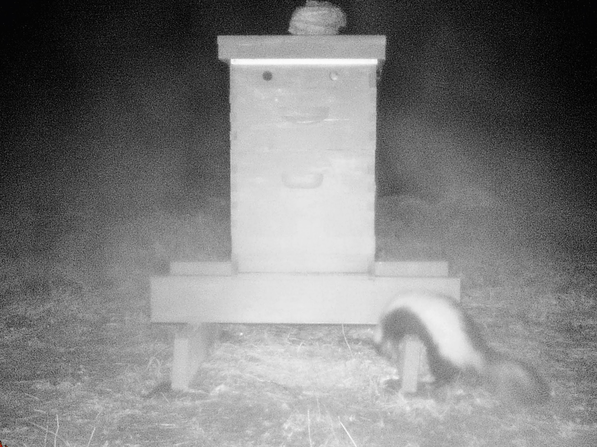 Skunk at a honey bee hive