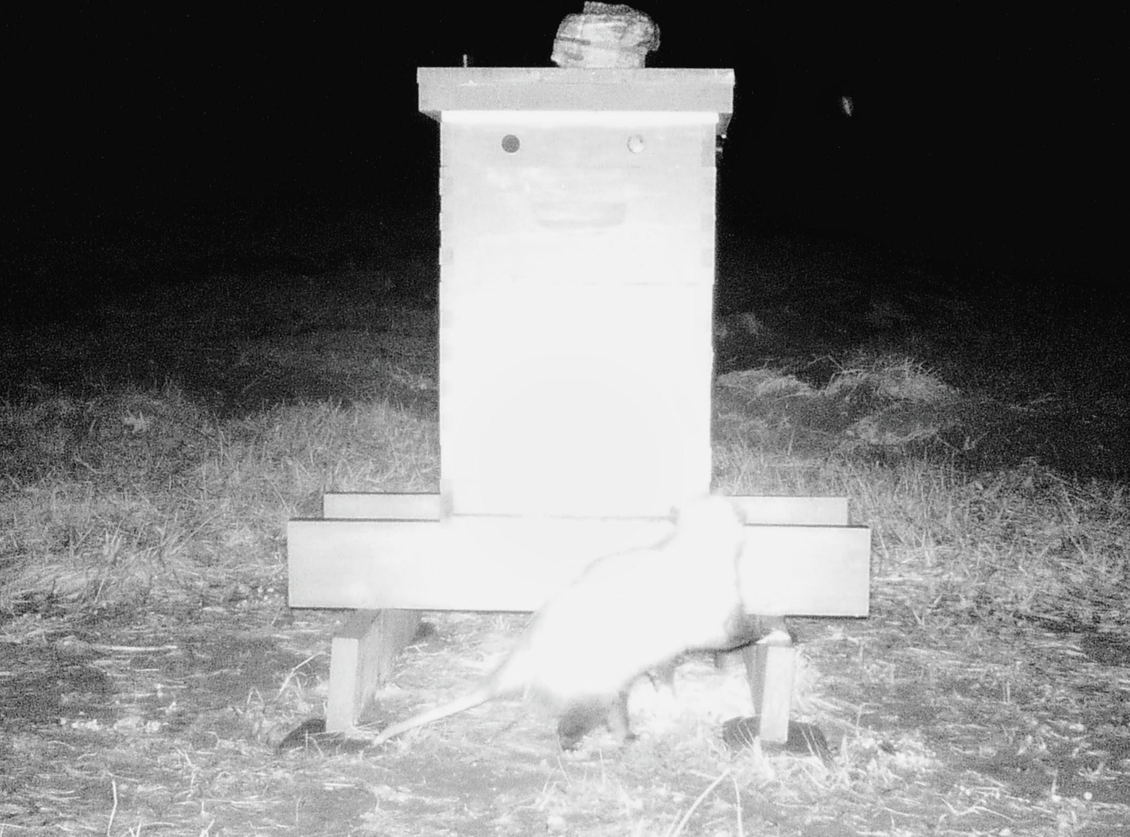 Opossum (possum) at a honey bee hive