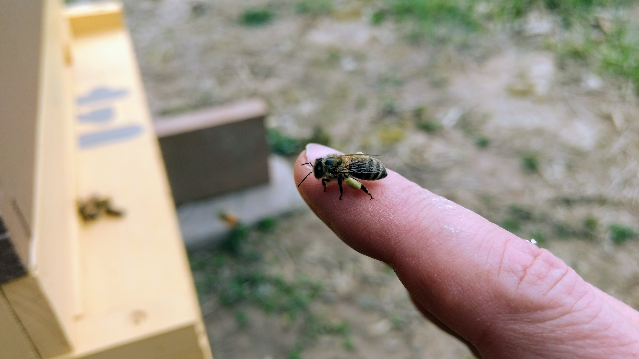 Honey bee alights on my finger with a load of pollen