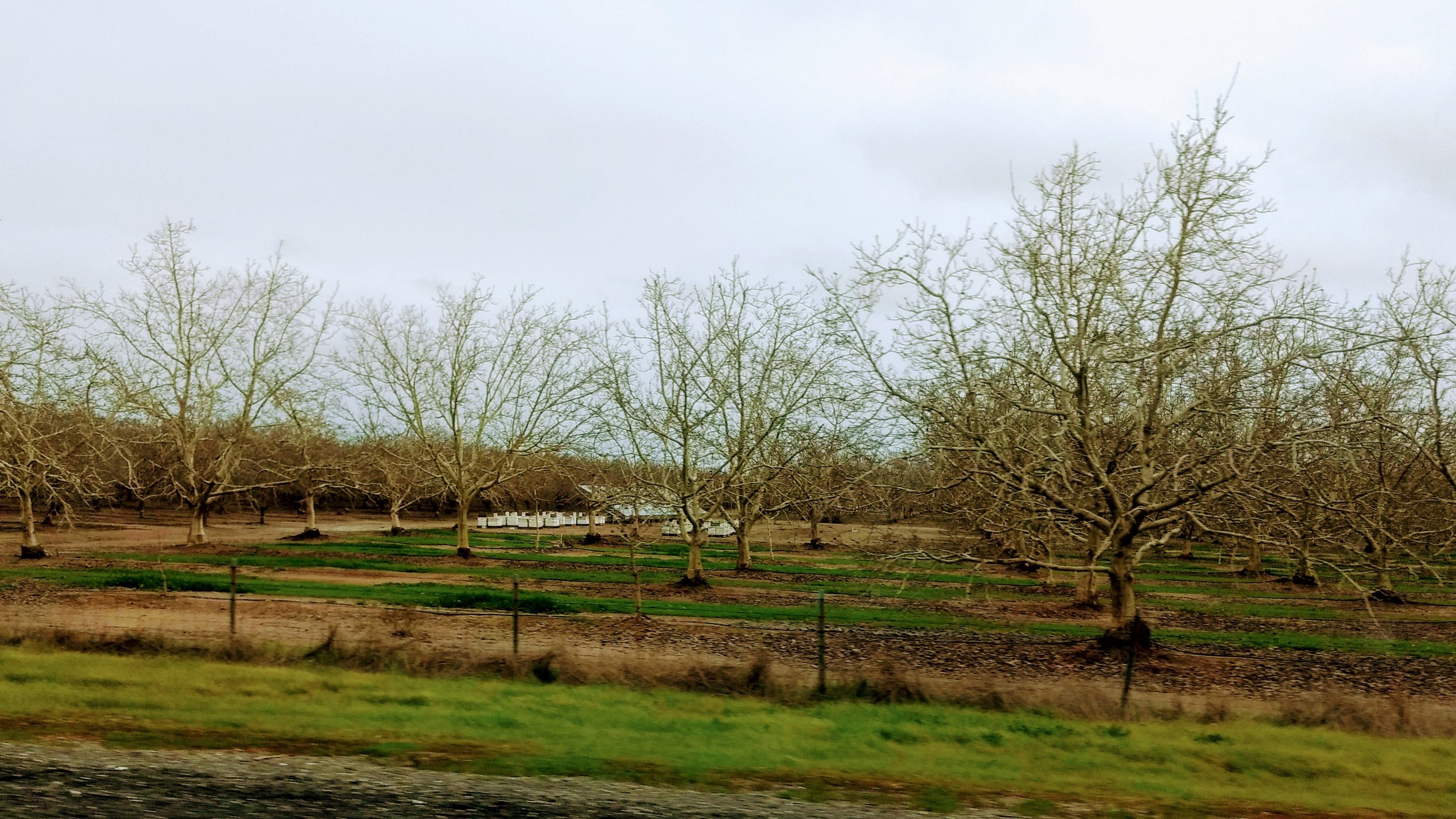 Bee hives moved into the almond fields in California's Central Valley