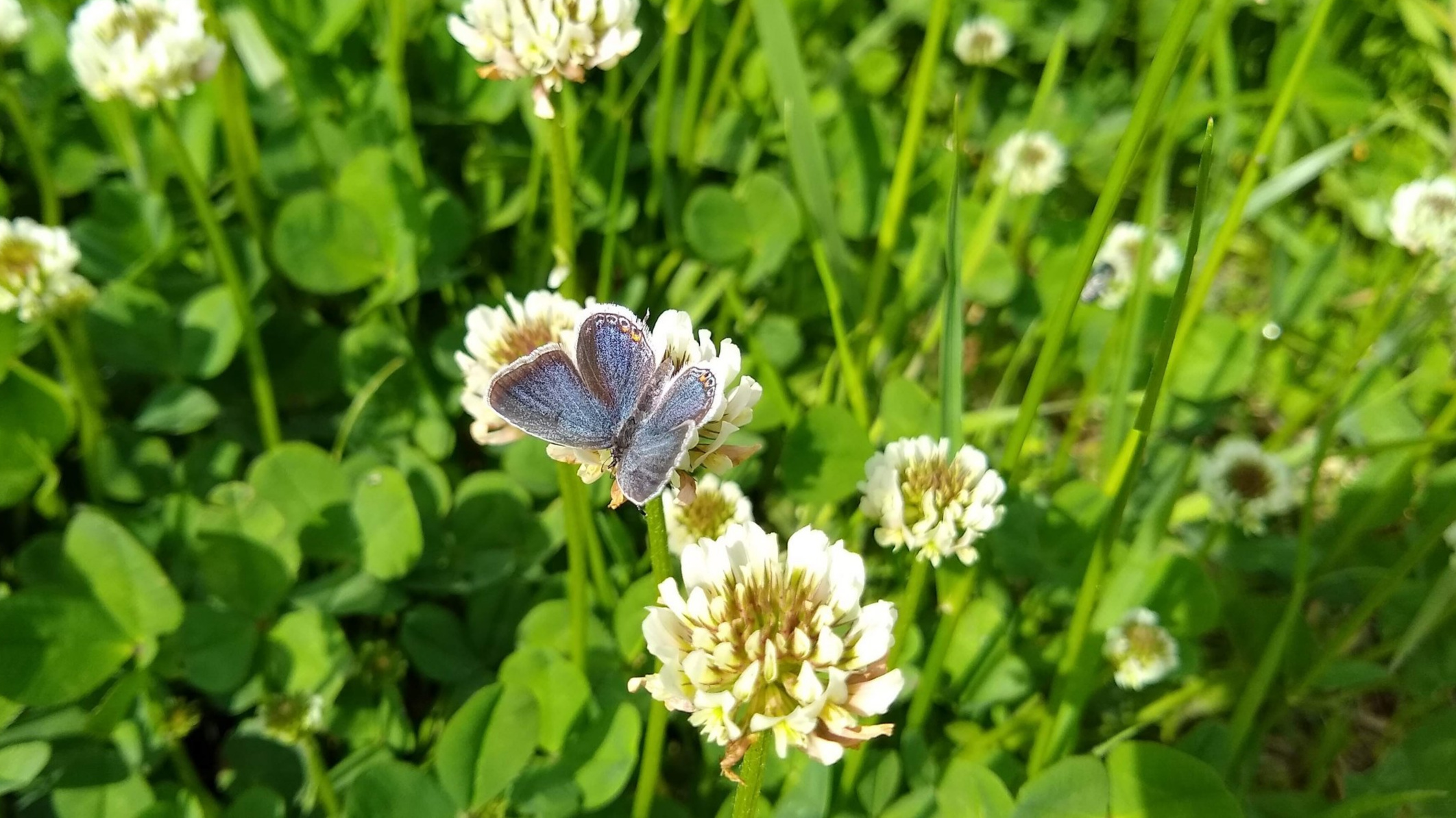 Eastern Tailed Blue Butterfly on white clover