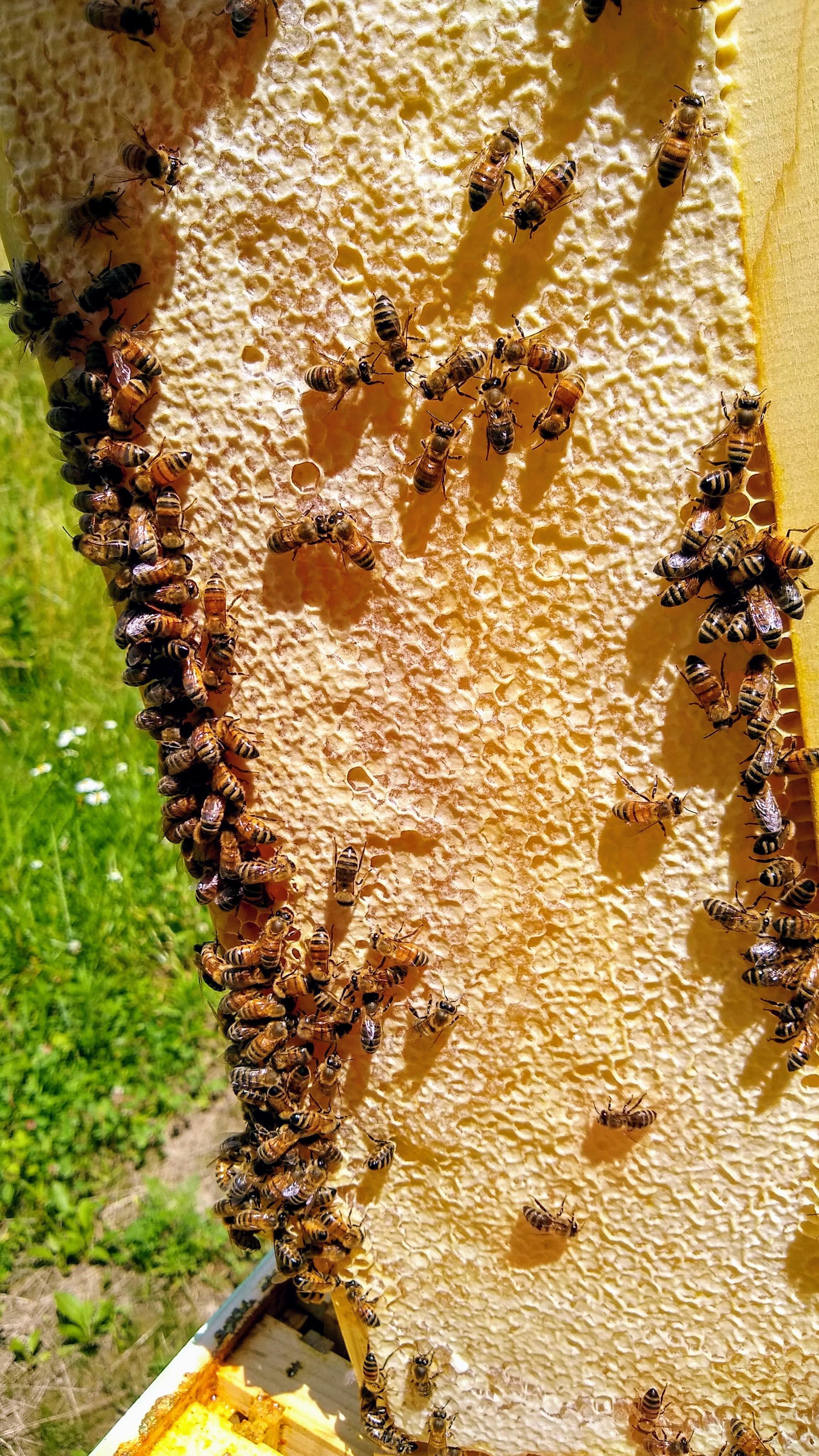 A frame of honey ready for harvest