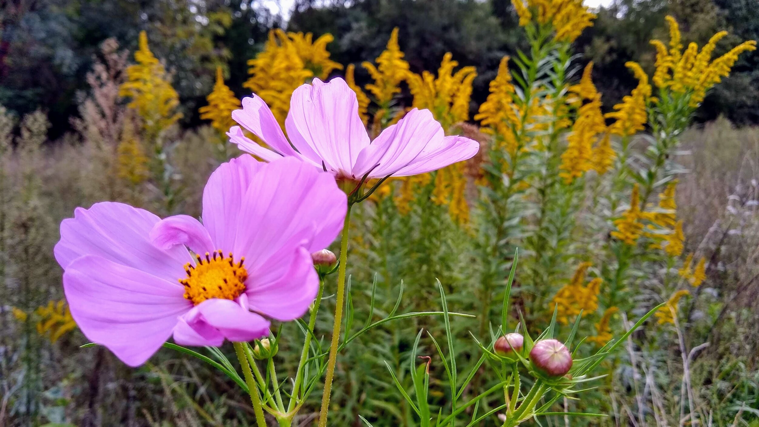 More October flowers, including cosmos sensation and nearly-spent goldenrod
