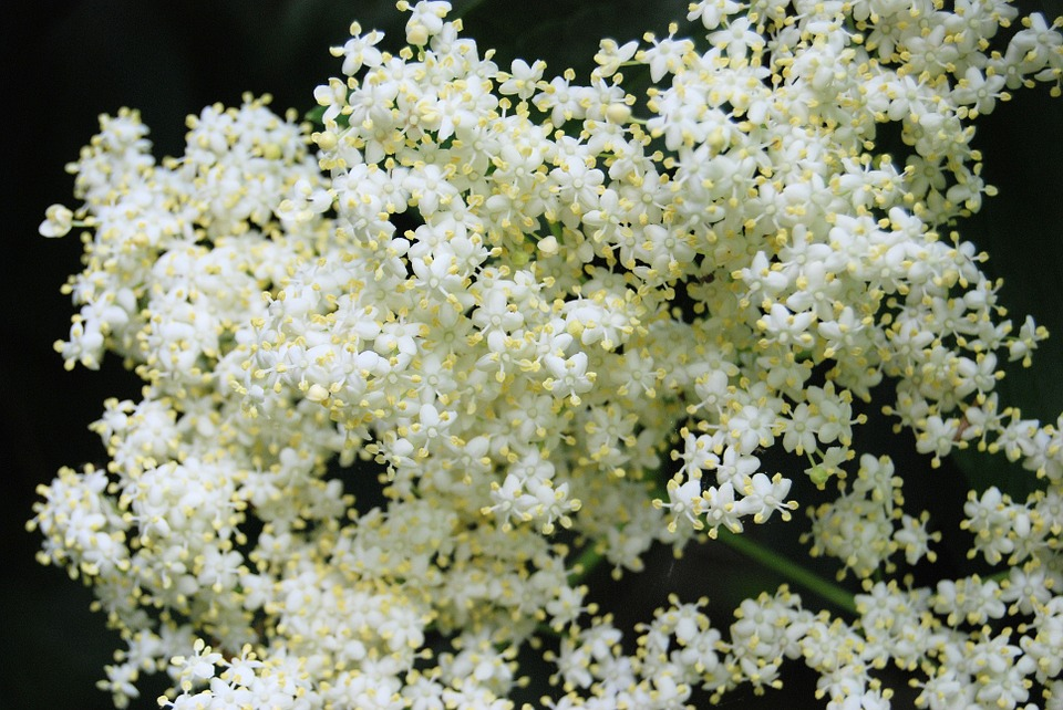 Random Fact: - The stalks and leaves of elderberry plants are toxic, that's why you have to cut off as much of the stems as you can before distilling.