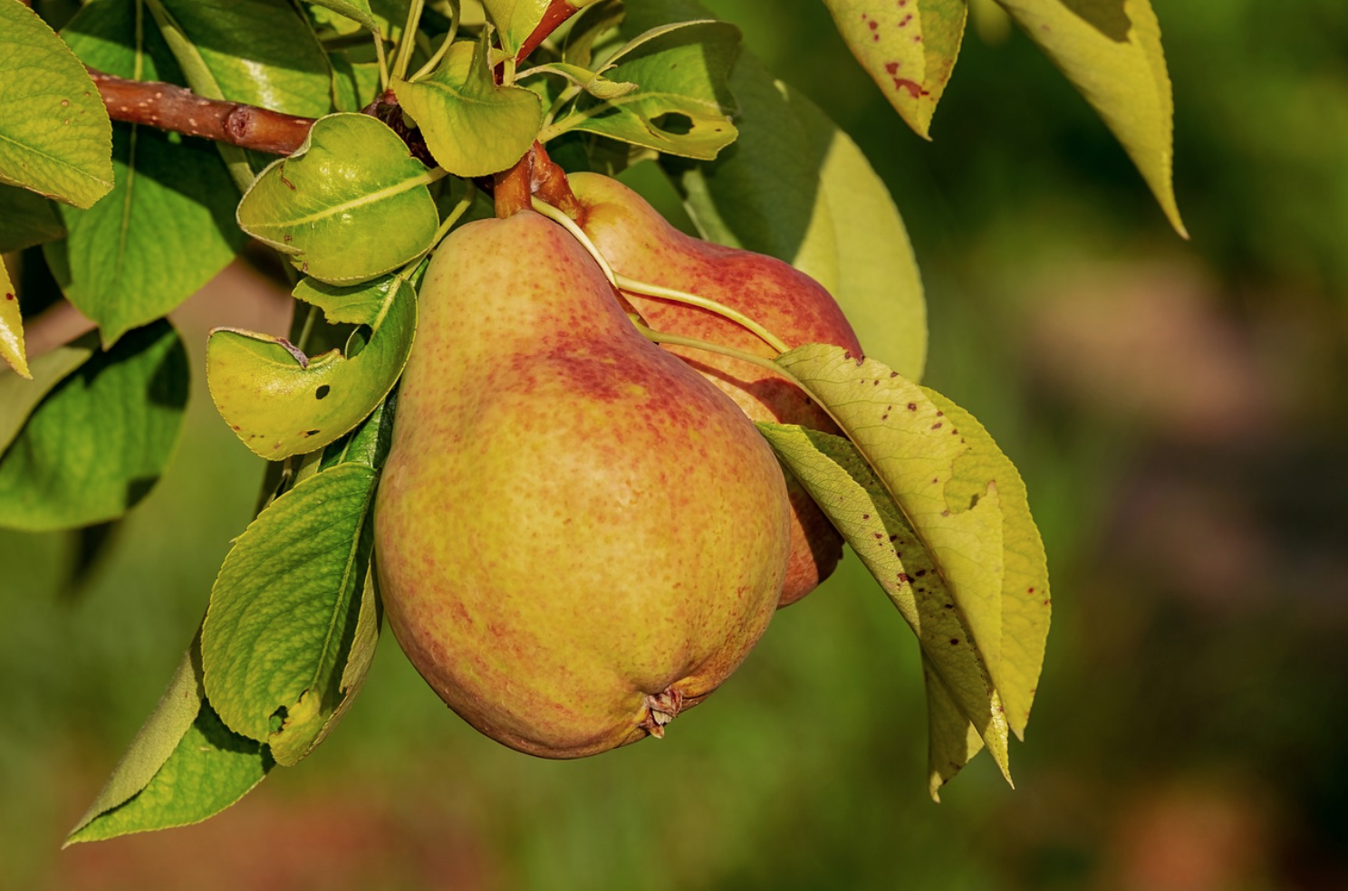 Random Fact- - Out of all of the fruits Palinka is made from, pear is the most popular flavor in Hungary.