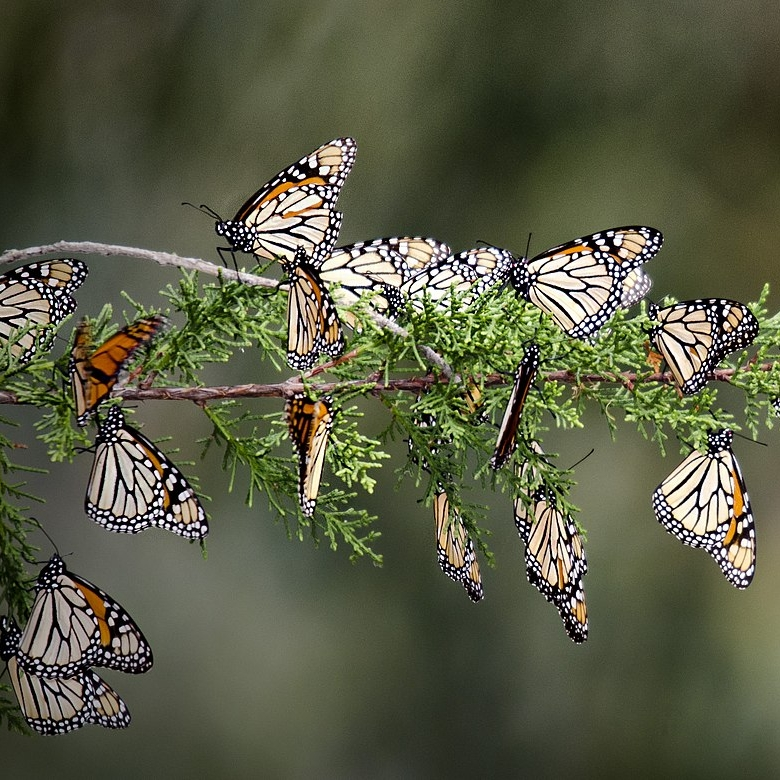 1600px-String_of_Monarchs,_Pismo_Preserve.jpg