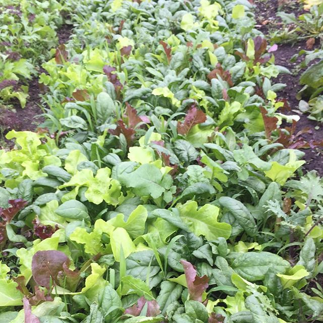 It's not all straight rows and even germination. This is a good example of a cash crop being a weed. In this case the lettuce is a weed to the spinach.  #natureninefarms #weeds #plantedcropisaweed #lettuce #spinach #lettuceweed #smallfarm #organicallygrown #eatlocal #supportlocal #visitfoley #orangebeach #gulfshores #fairhope #southalabama #loweralabama #visitalabama #daphne #easternshore #eatwell #foodmatters #baldwincounty #mobilealabama #pensacola #magnoliasprings