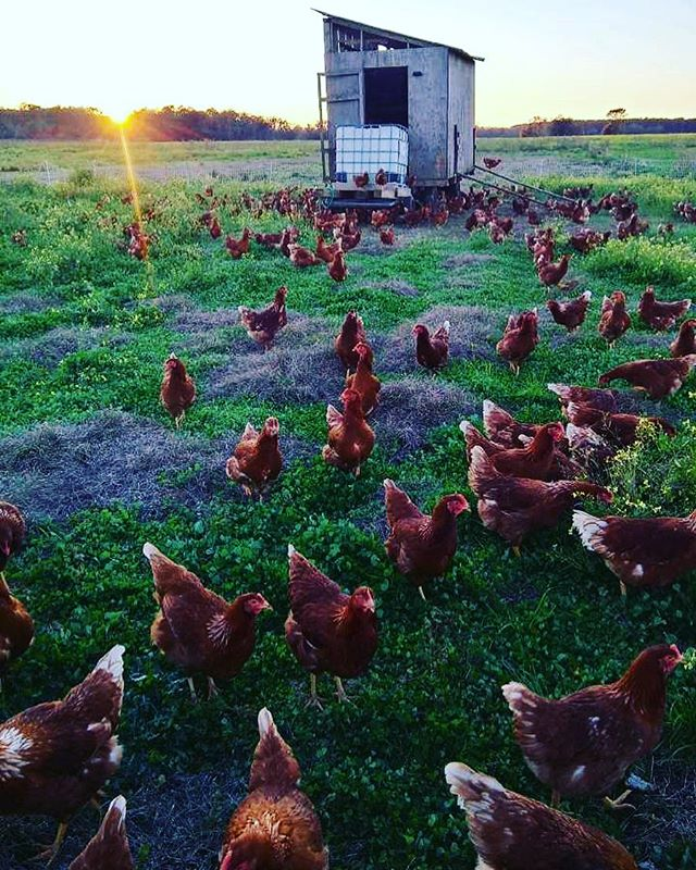 What makes our eggs different? We move our hens every couple of days to ensure they always receive a fresh supply grass and insects. They will not be return to this part of the farm for several months.  #natureninefarms #eggs #pasturedpoultry #pasturedeggs #hylinebrown #redsexlink #superioregg #gmofree #nongmo #chicken #smallfarm #organicallygrown #supportlocal #visitfoley #orangebeach #gulfshores #fairhope #southalabama #loweralabama #visitalabama #daphnealabama #easternshore #eatwell #foodmatters #baldwincounty #mobilealabama #pensacola #magnoliasprings
