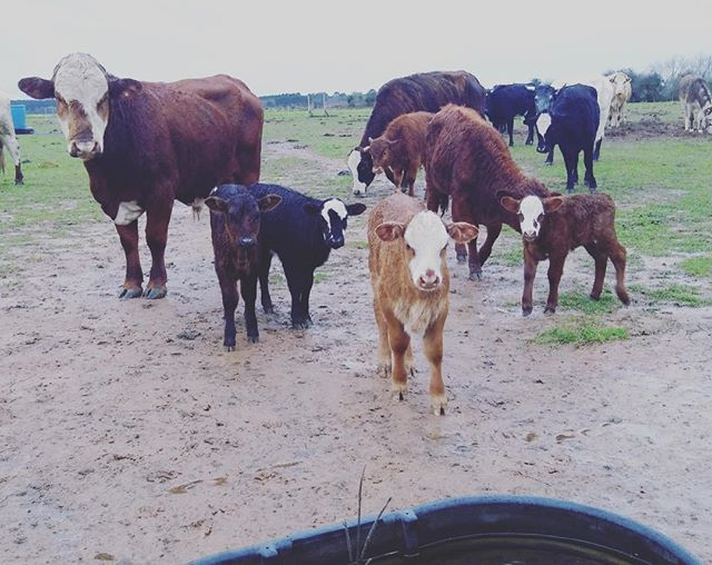 The newest additions to the herd.  #natureninefarms #grassfedbeef #grassfinished #cows #beef #littlecow #calf #smallfarm #organicallygrown #eatlocal #supportlocal #visitfoley #orangebeach #gulfshores #fairhope #southalabama #loweralabama #visitalabama #daphnealabama #easternshore #eatwell #foodmatters #baldwincounty #mobilealabama #pensacola #magnoliasprings