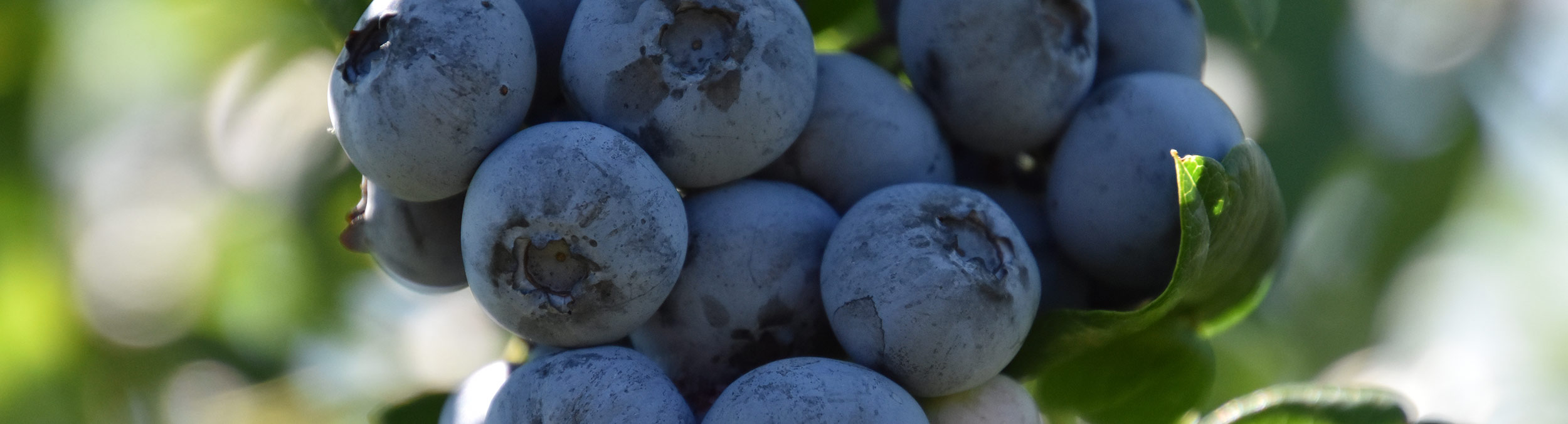 blueberries-2500x676.jpg