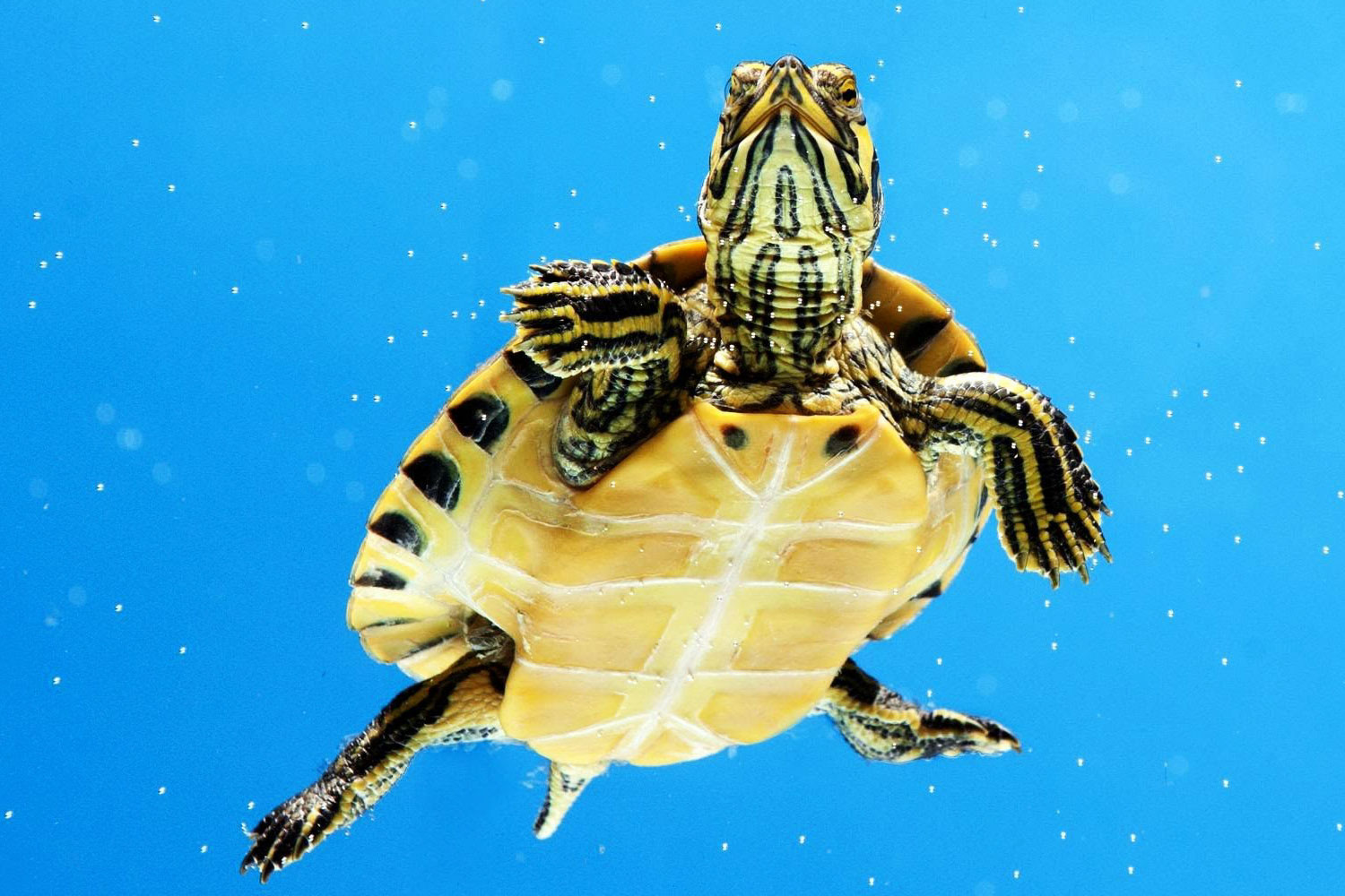 water turtles - Water turtles have large webbed feet and live in water most of the time, coming out occasionally to bask in sunlight. Captive care of water turtles is typically in ponds or large aquariums.
