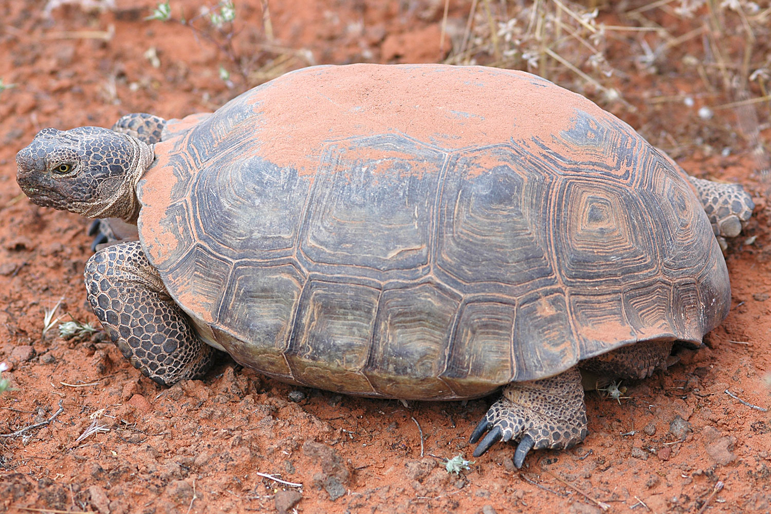 north american desert tortoise - These medium size tortoises have adapted to living in dry, arid climates.