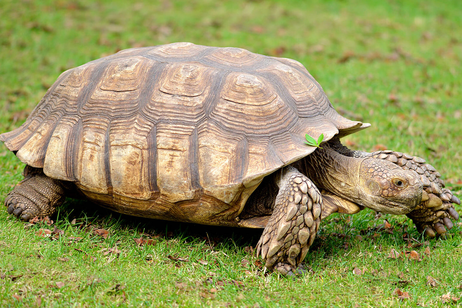 african sulcata - Will reach 150+ lbs / 90% grass & weed diet / Very sturdy walls & heated tortoise house