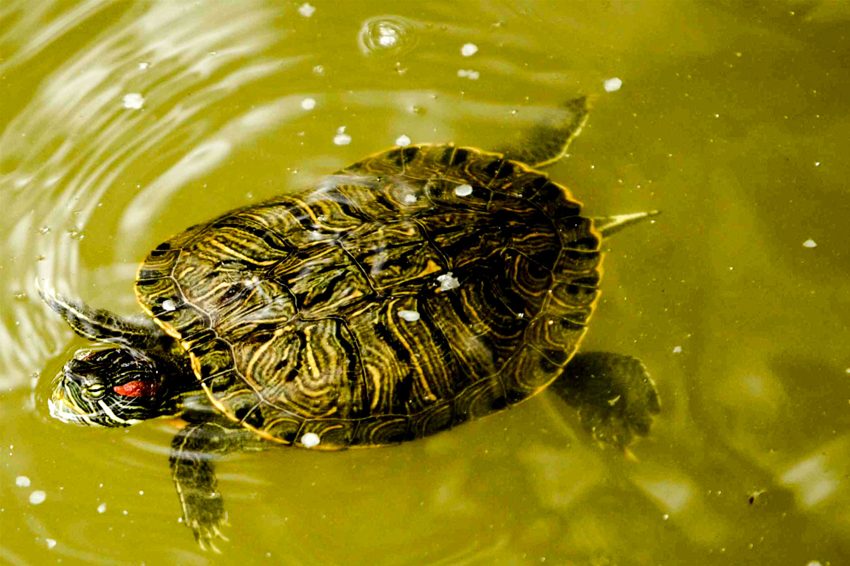 water-turtle.jpg