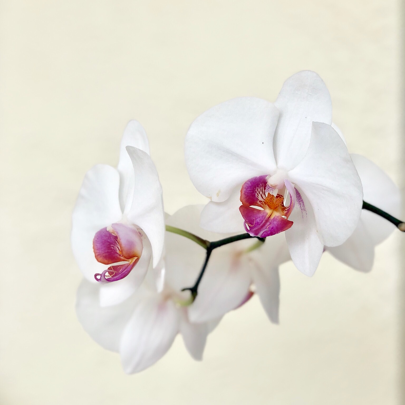 Phalaenopsis Orchid from my Grandmother's home