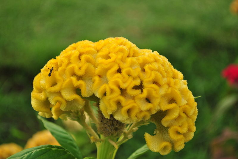 "Coxcomb Celosia (the ""Brain"" Flower). Photo from The Flower Expert"