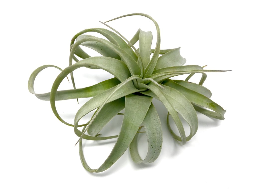 Photo from The Air Plant Hub
