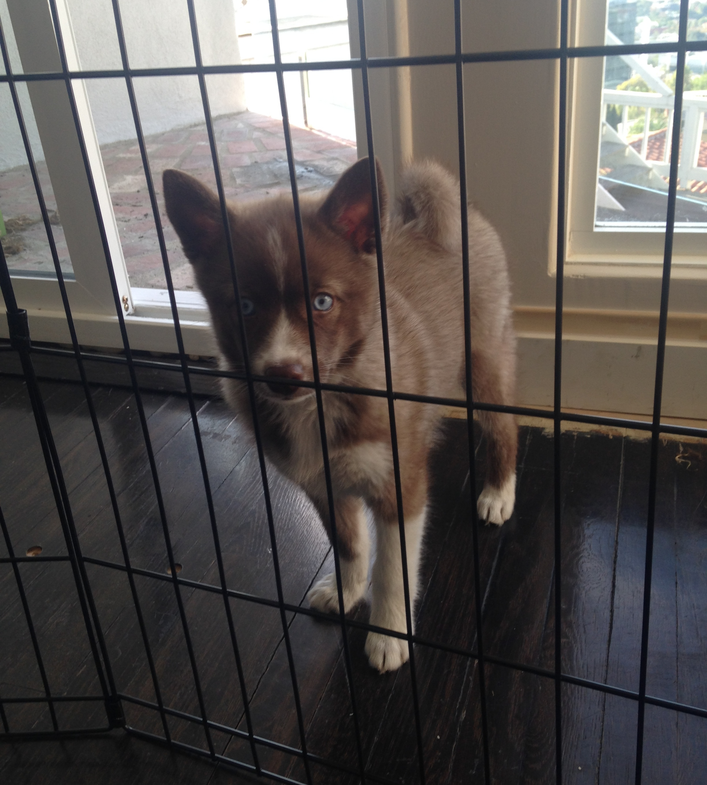 Puppy Training in Los Angeles: How to house train a Pomsky puppy.