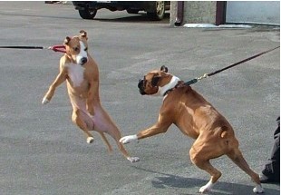 dogs getting aggressive on a leash