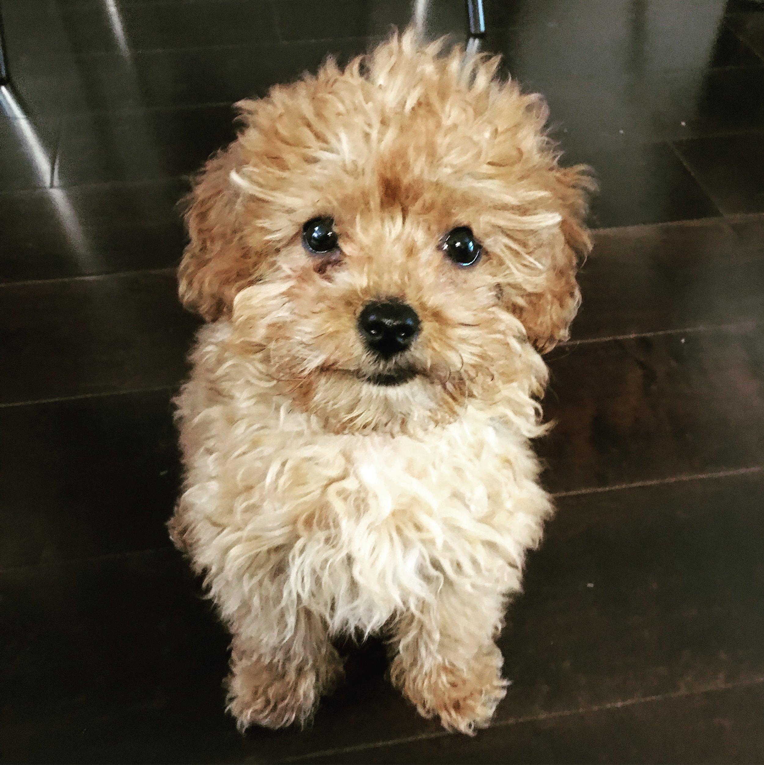 puppy training: goldendoodles