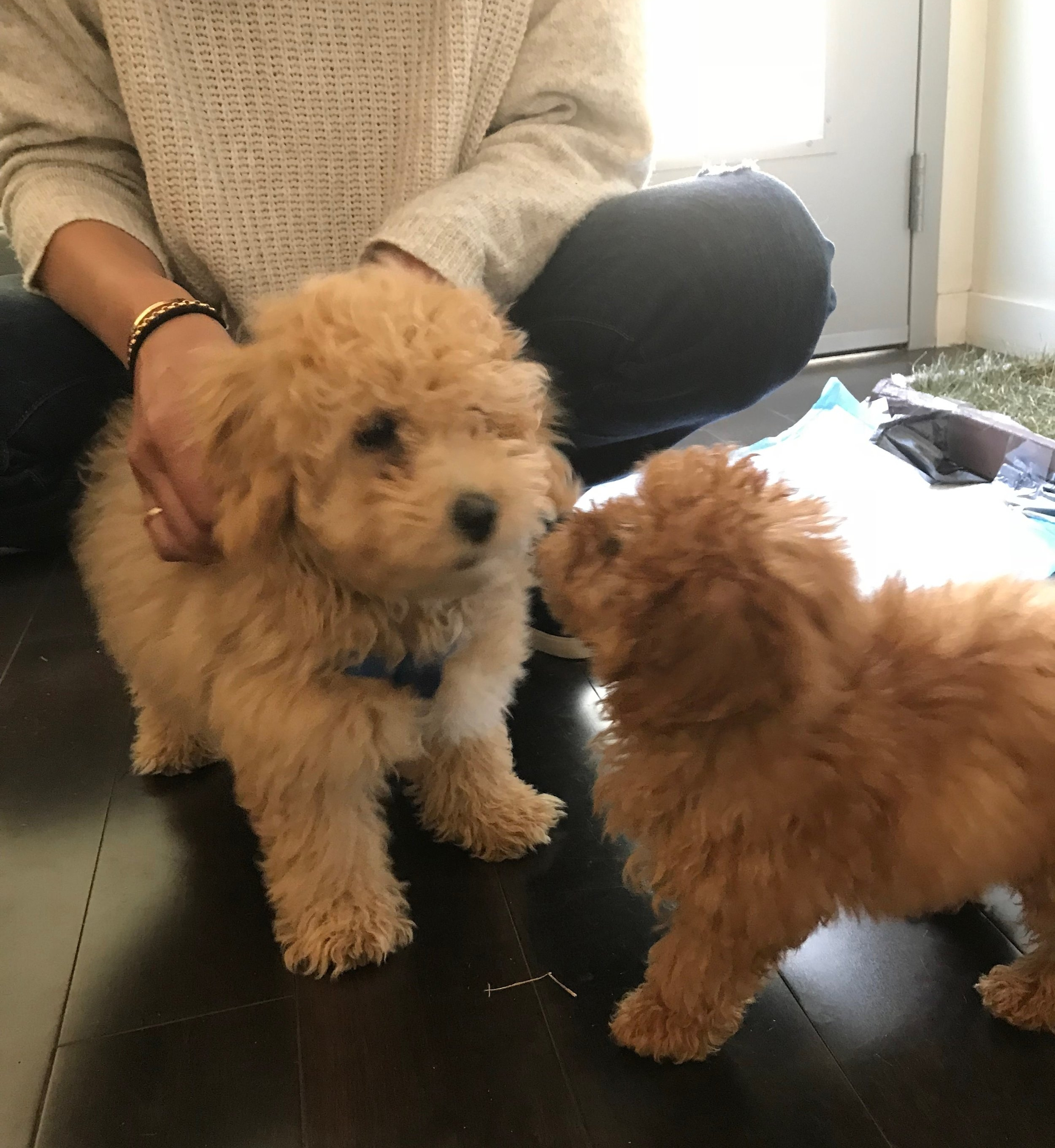 Puppy training 101: Raising a puppy in Los Angeles requires that you socialize a puppy early by introducing them to other puppies at puppy class and through friends.