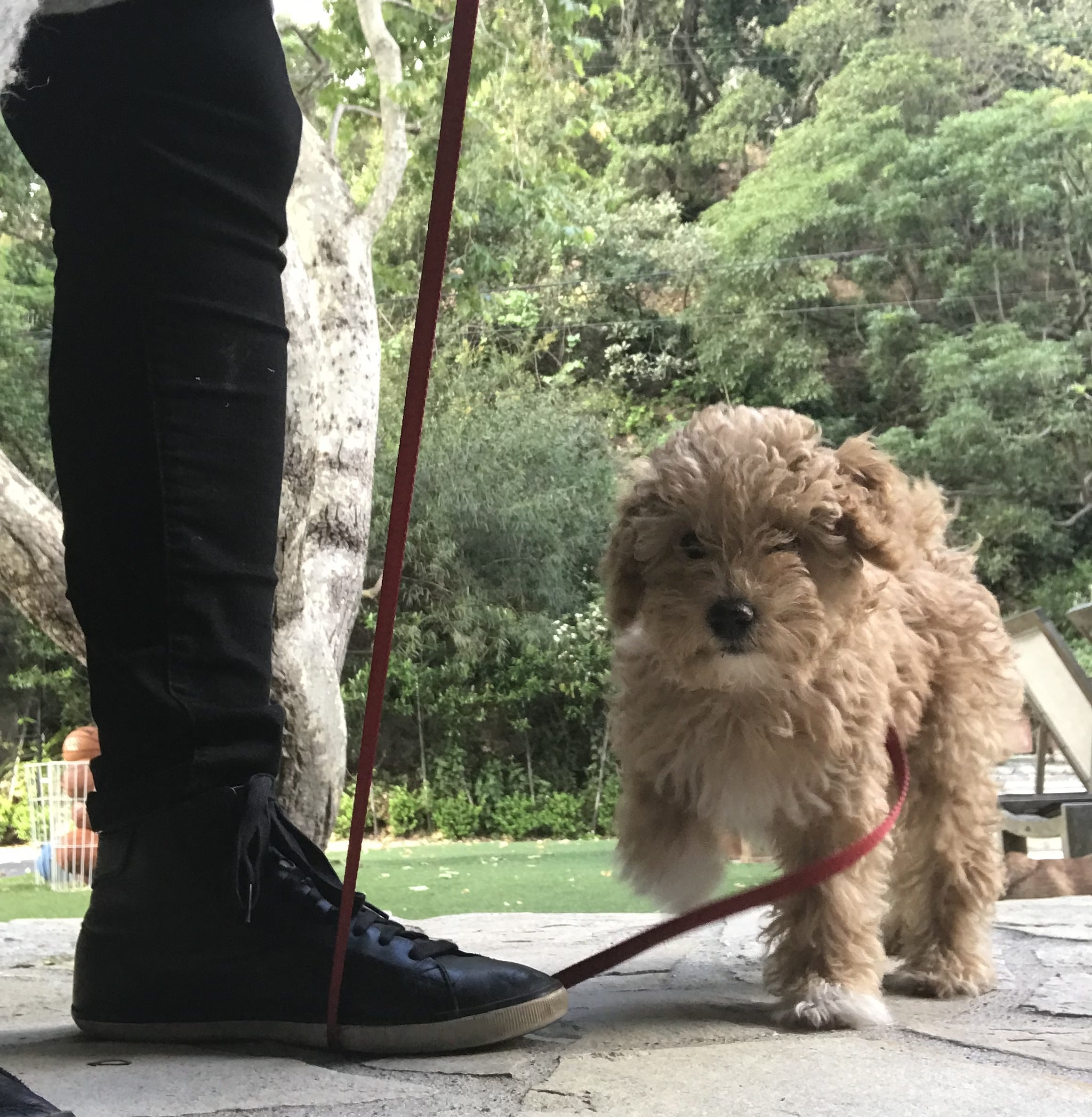 Puppy training 101: Keep a puppy on a leash around the house to prevent unwanted behaviors like jumping on the furniture or jumping on guests when they arrive.