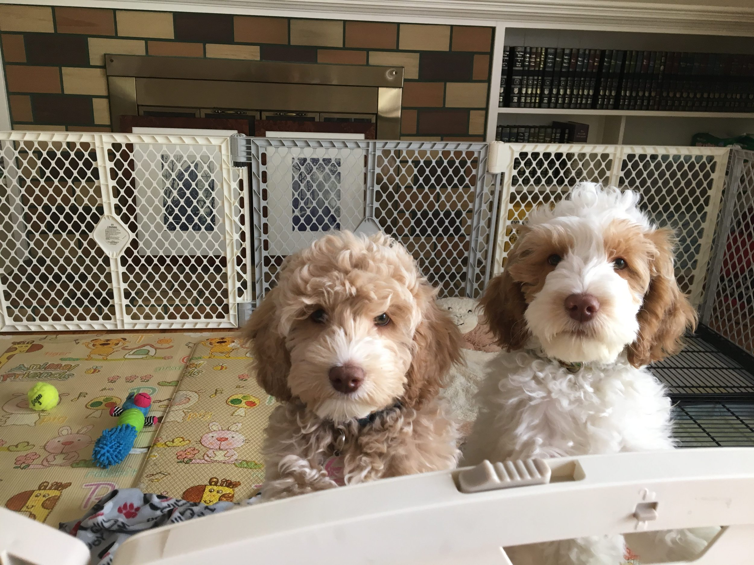 Puppy Training 101: Potty training requires keeping your puppy in a long-term confinement area.