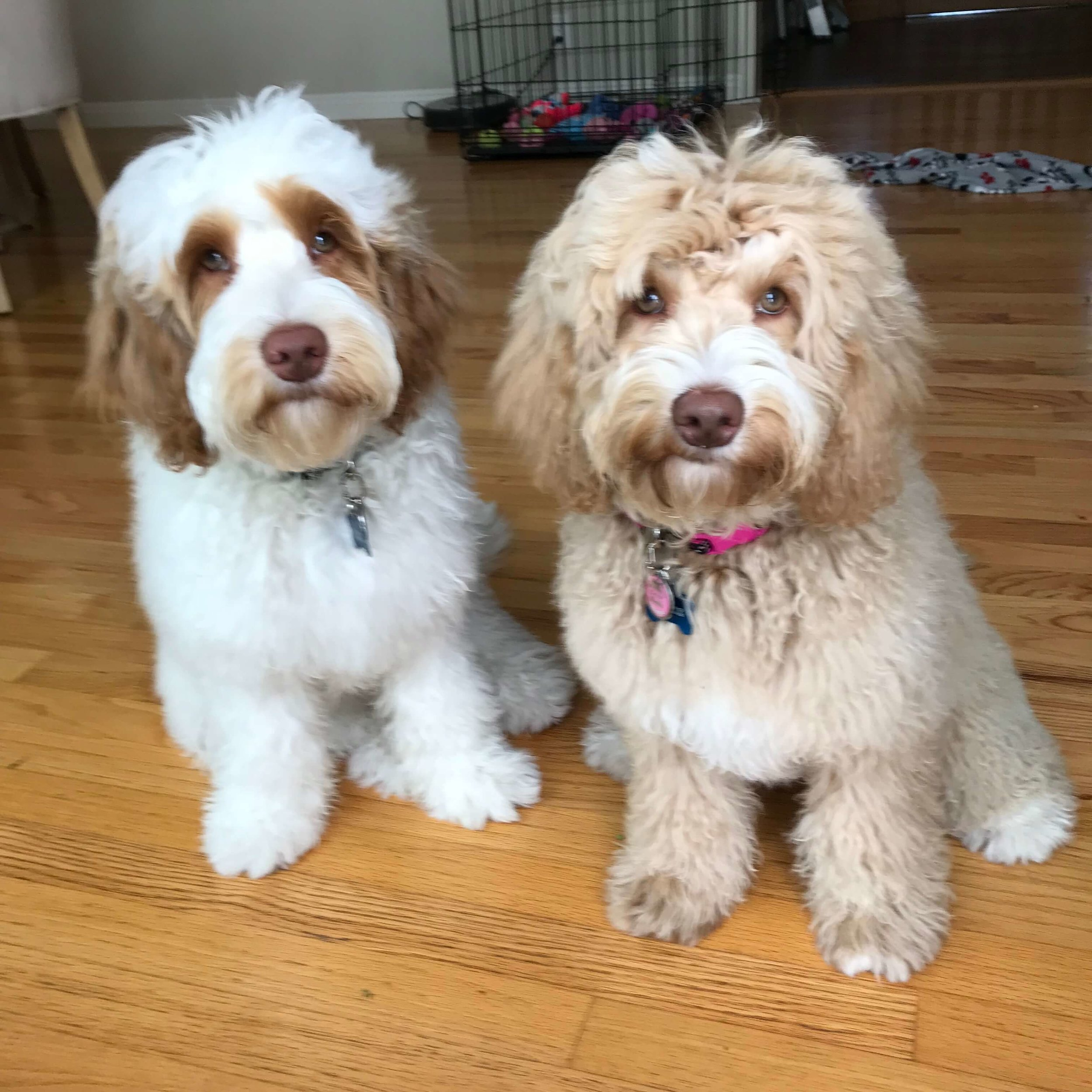 Puppy training in Los Angeles: Goldendoodles need consistent basic obedience training.