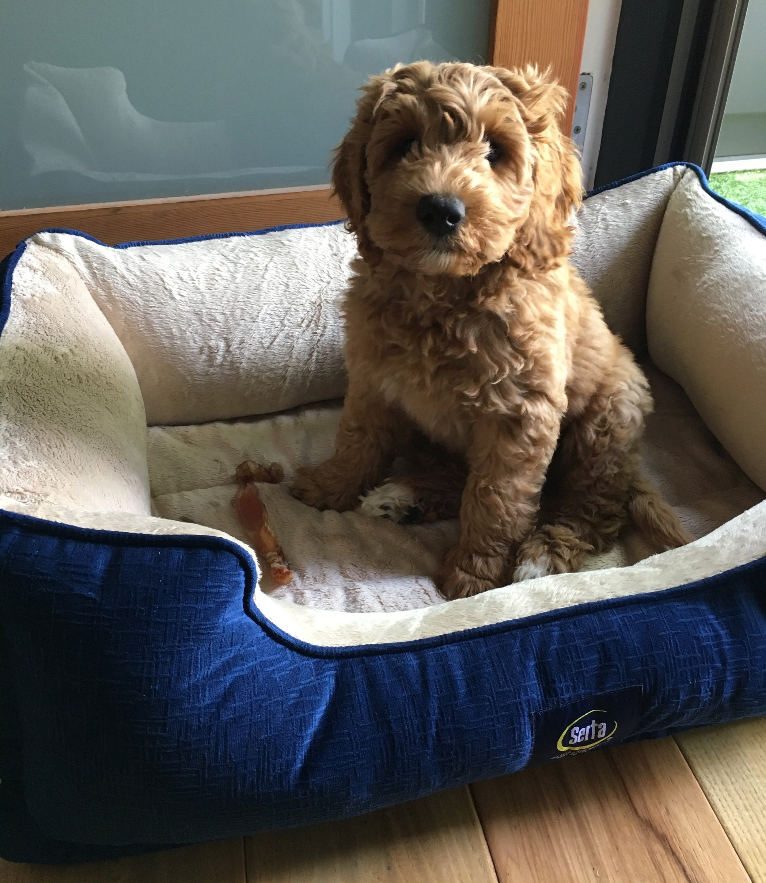 Puppy training in Los Angeles: How to train a Labradoodle puppy.