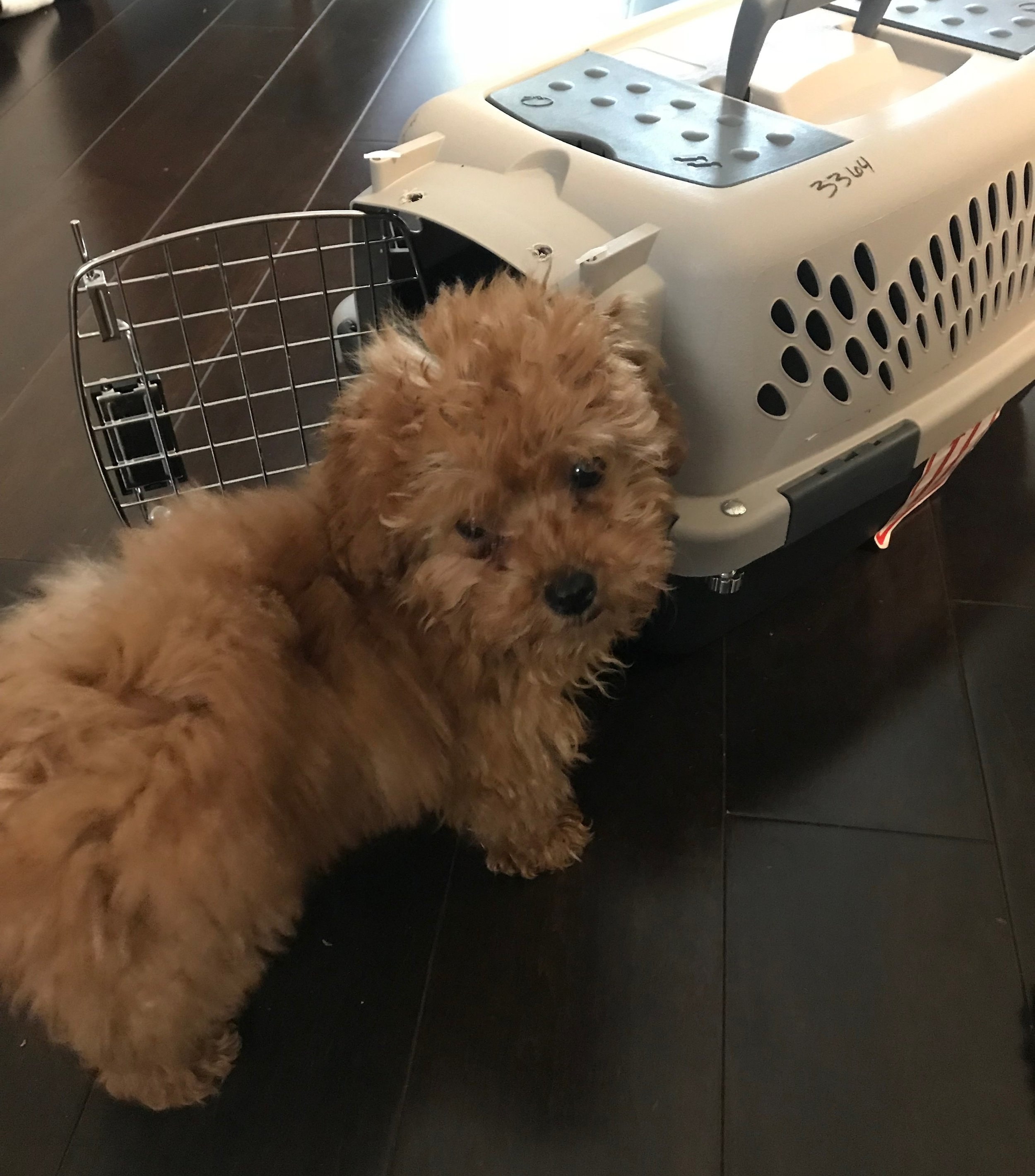 Puppy training in Los Angeles: How to crate train a Goldendoodle puppy.