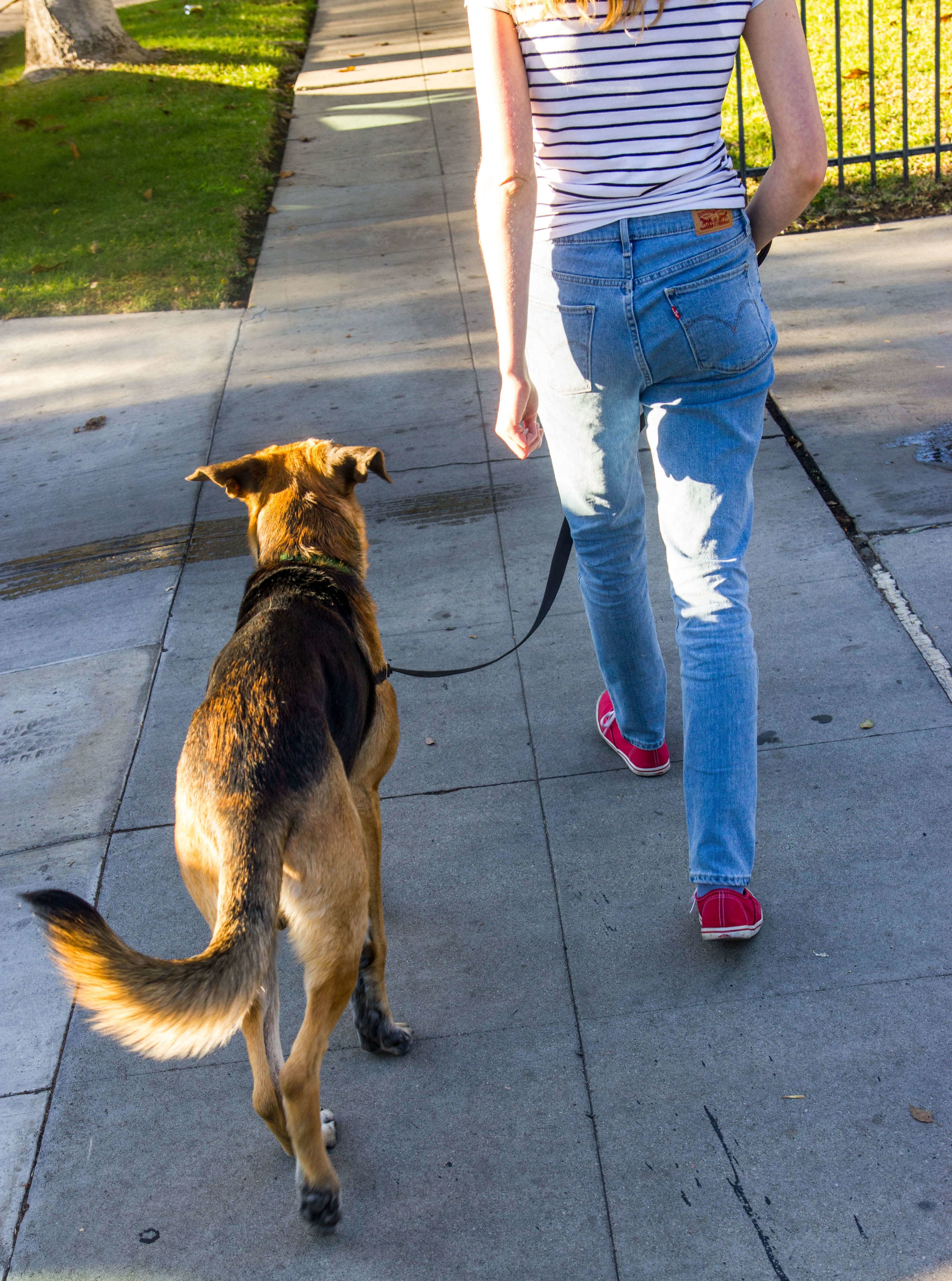 German Shepherd getting trained by dog trainers at Dog Savvy Los Angeles in Atwater Village.