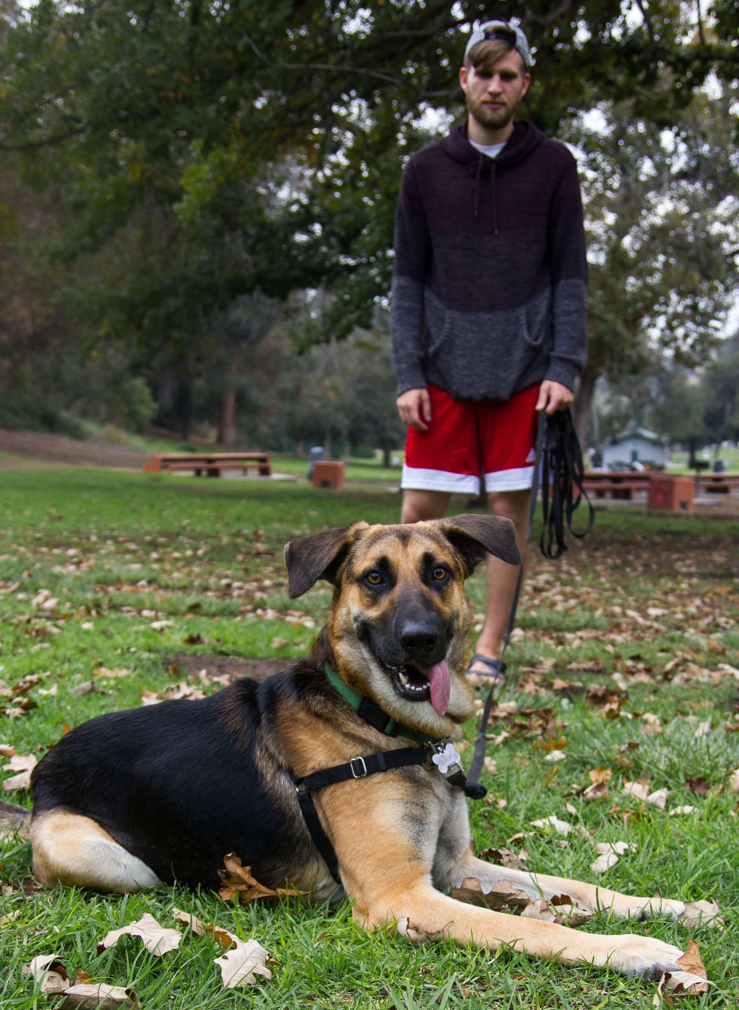 A German Shepherd taking obedience training with Dog Savvy Los Angeles, a private dog and puppy training company based in Los Angeles.