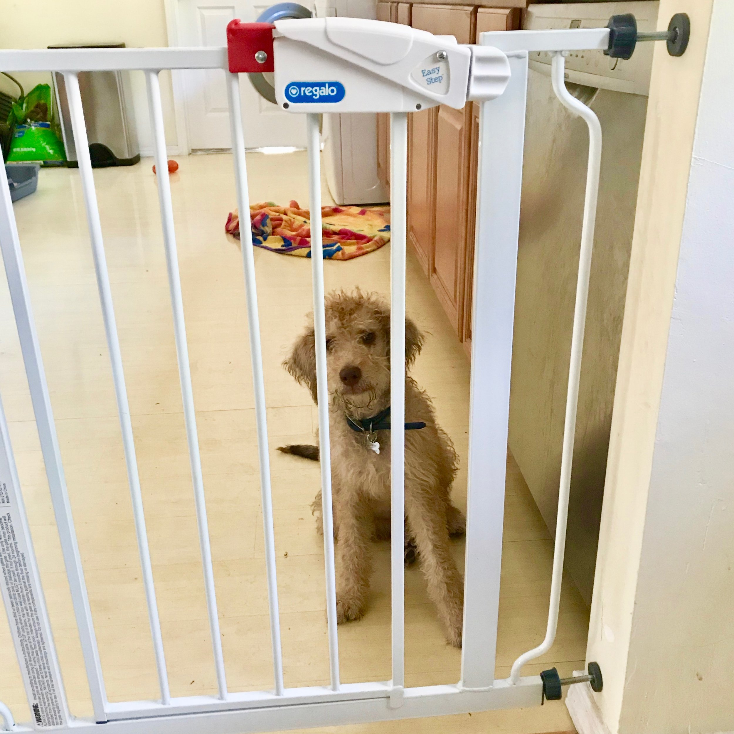 How to train a Goldendoodle puppy in Los Angeles.